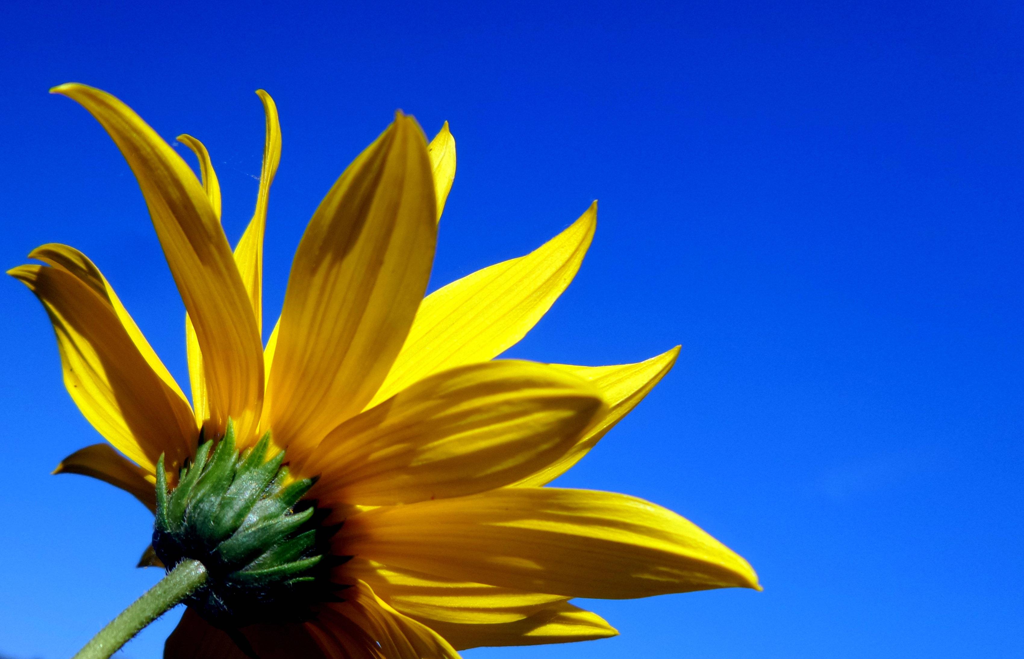 Free Images Sunlight Leaf Petal Summer Flora Sunflower