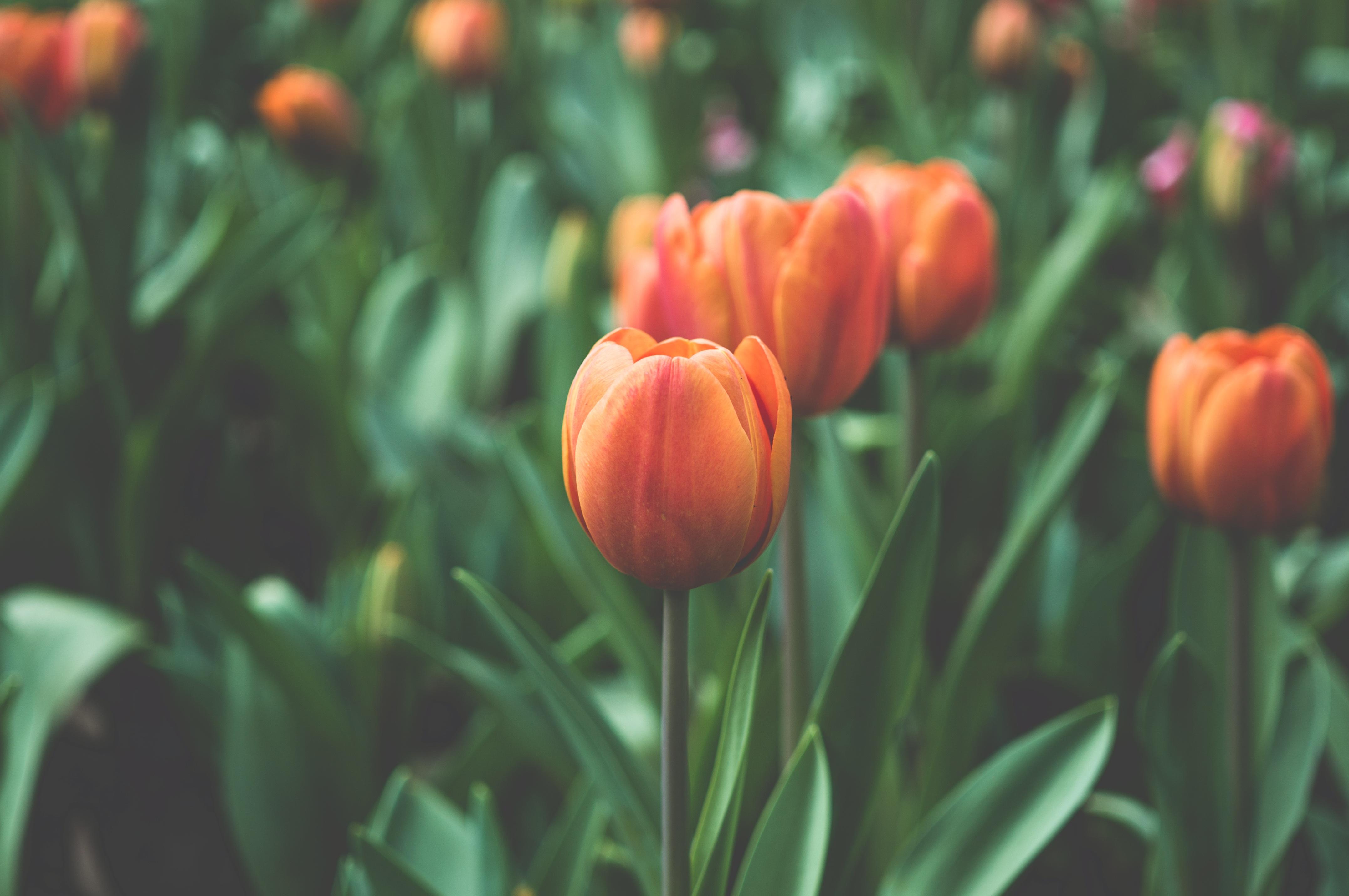 free images : flower, petal, bloom, tulip, spring, flora, flowering