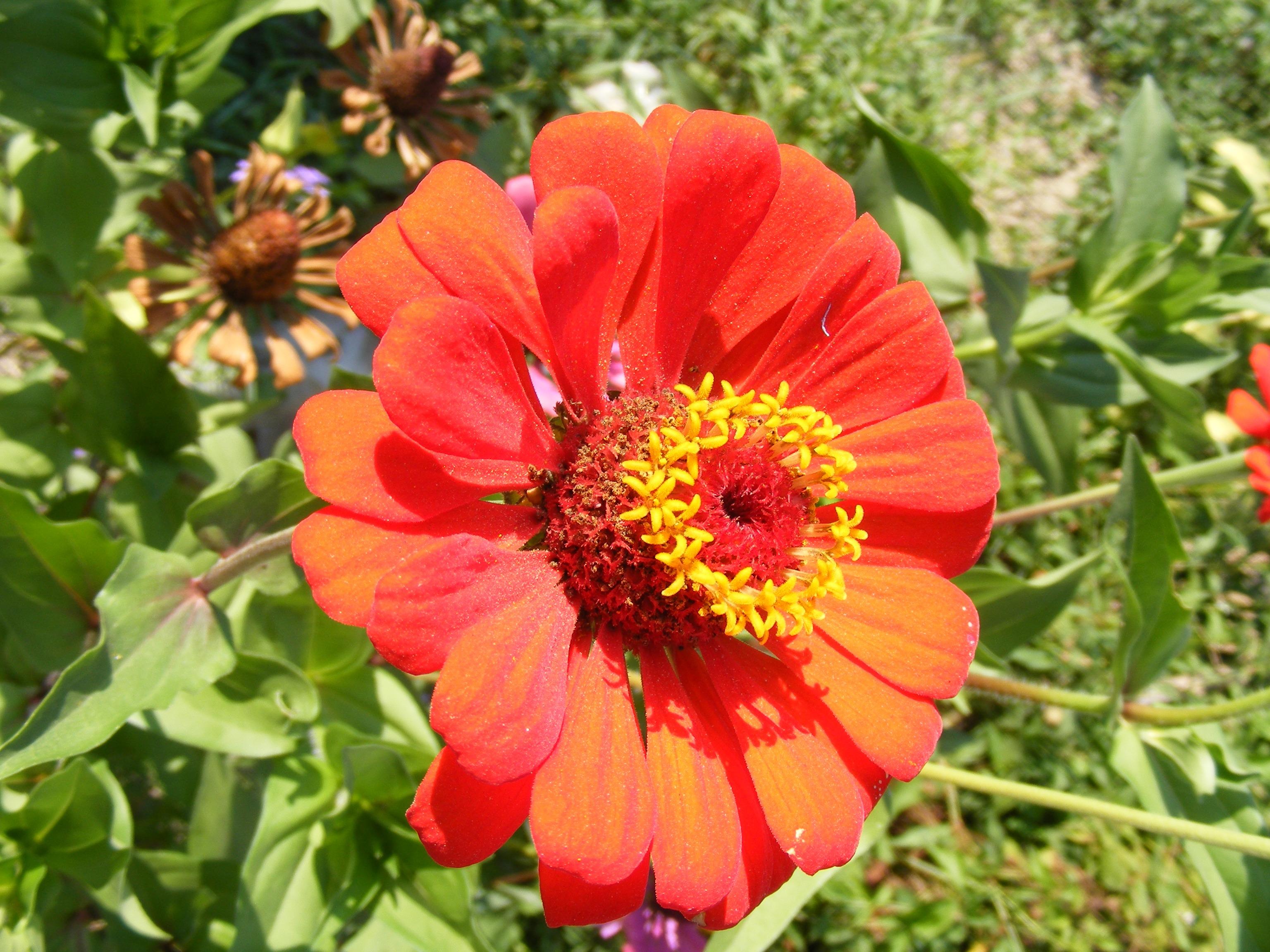 Fotos gratis sol p talo verano rojo bot nica jard n flora plantas flor silvestre - Plantas de jardin fotos ...