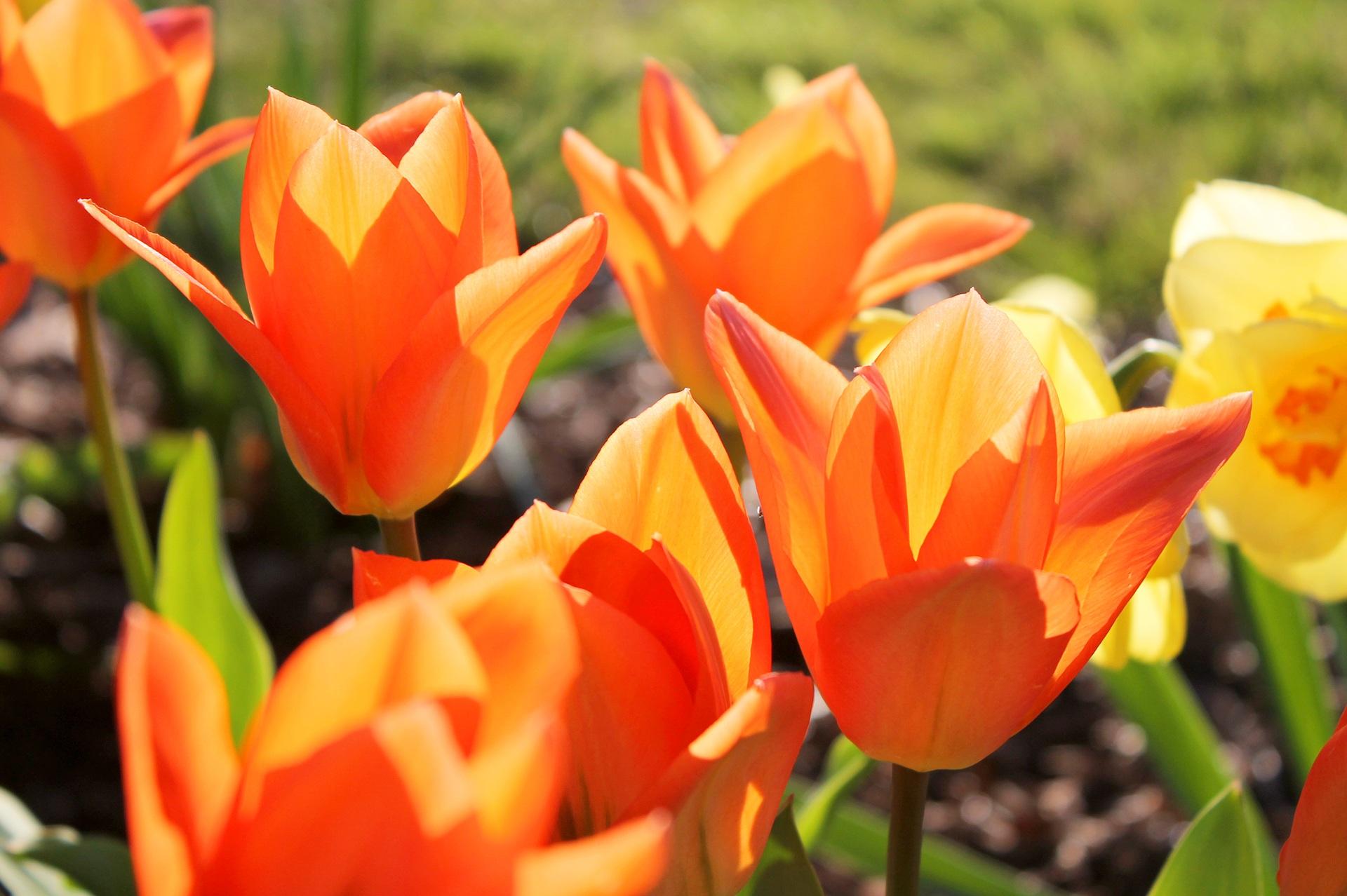 Оранжевое тюльпаны картинки