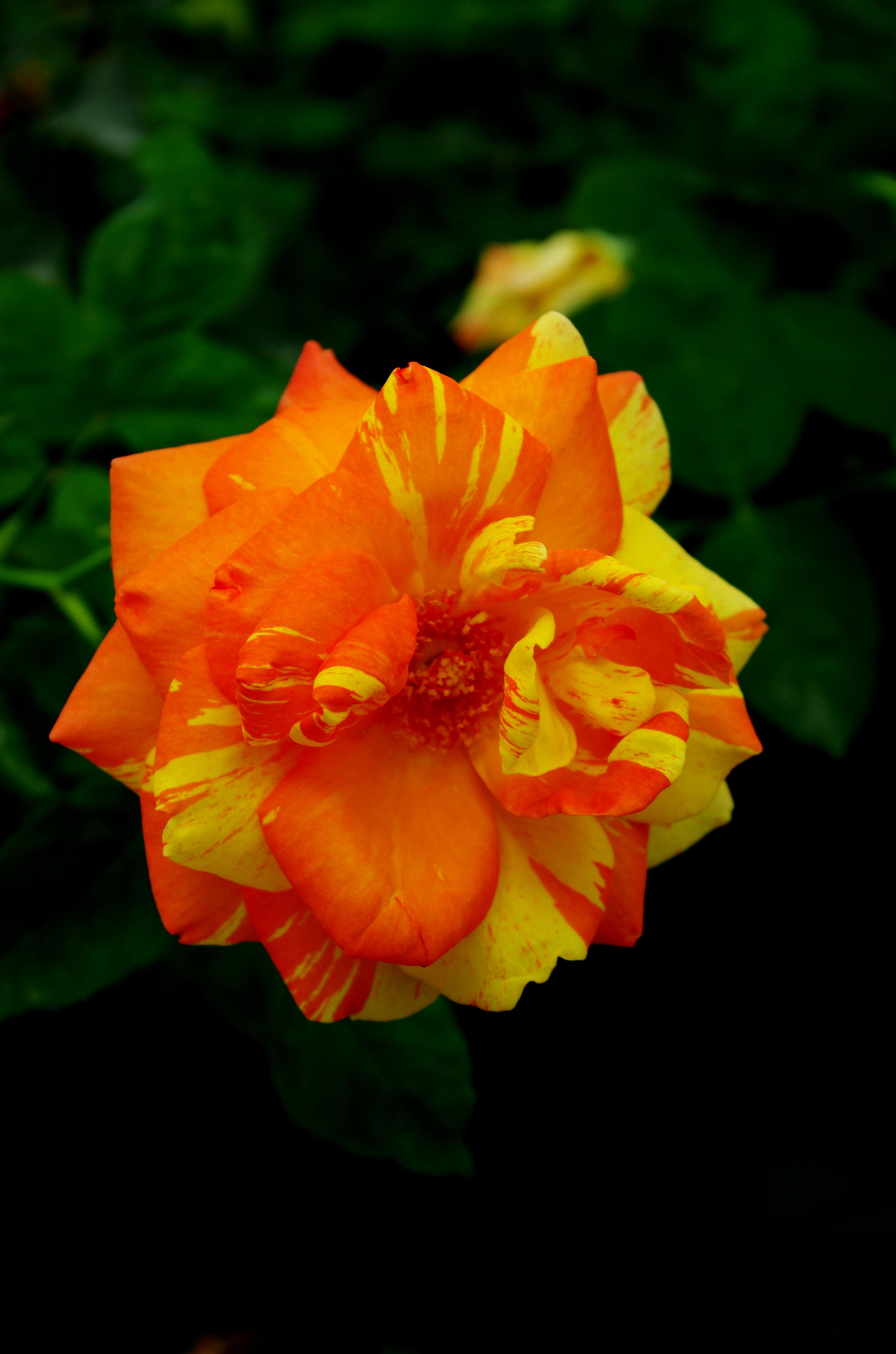 55+ Gambar Bunga Mawar Keren Paling Bagus