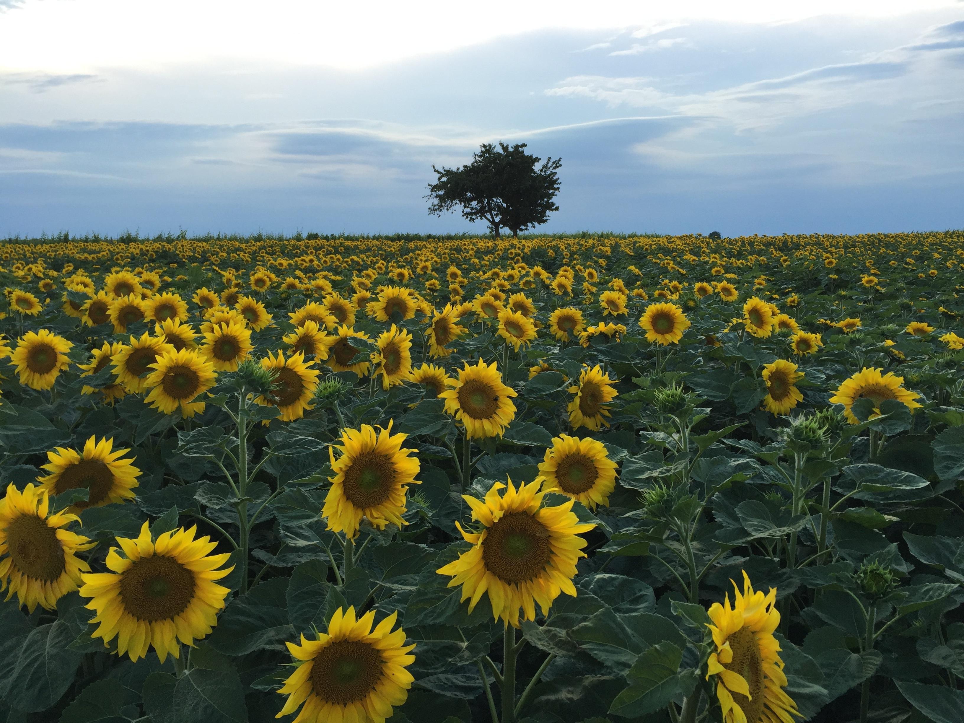 Plant Sunset Field Meadow Prairie Flower Summer Yellow Flora Plain Sunflower Wildflower Grassland Ecosystem