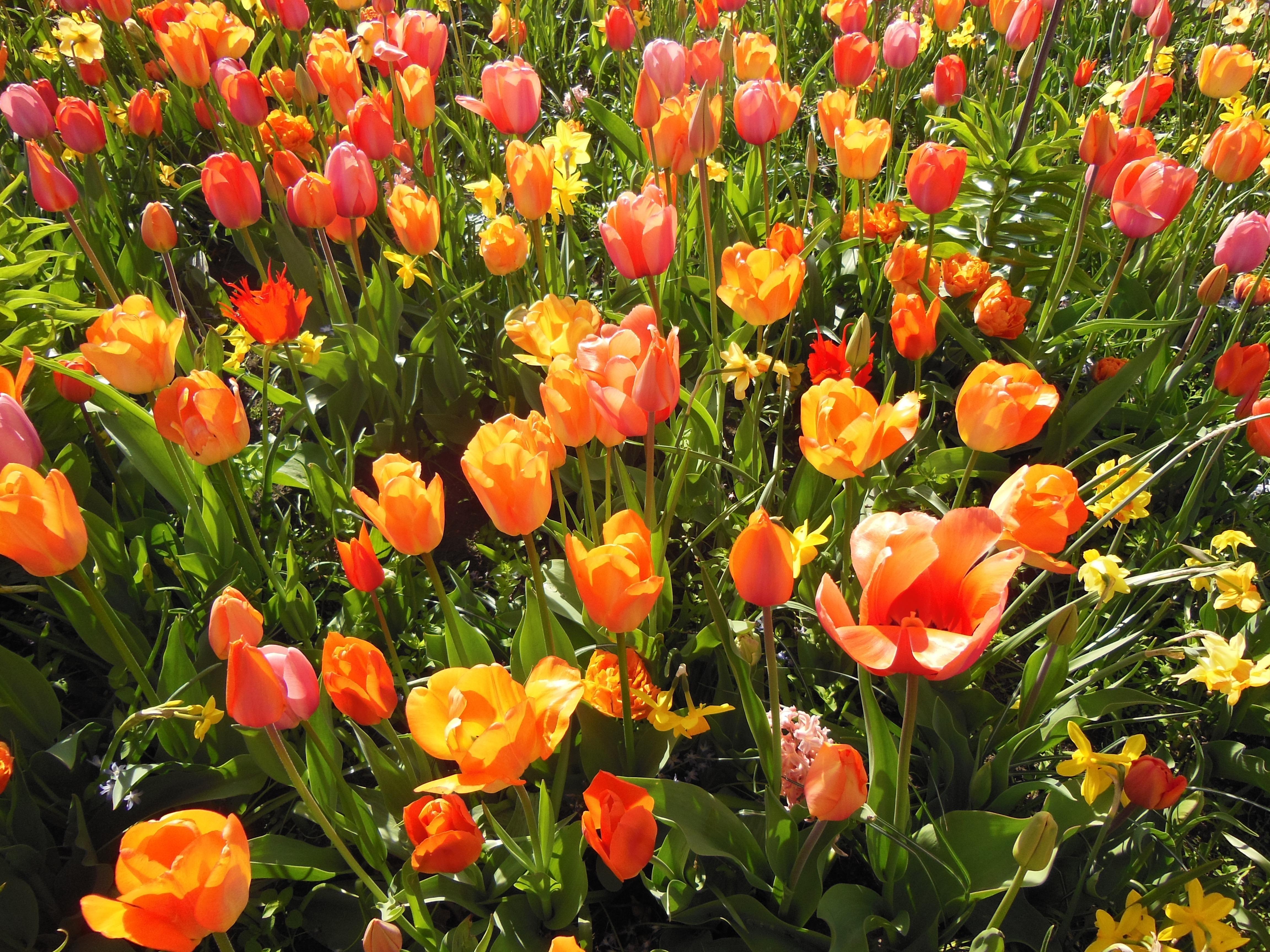 Free Images Sunshine Flower Summer Tulip Green Garden