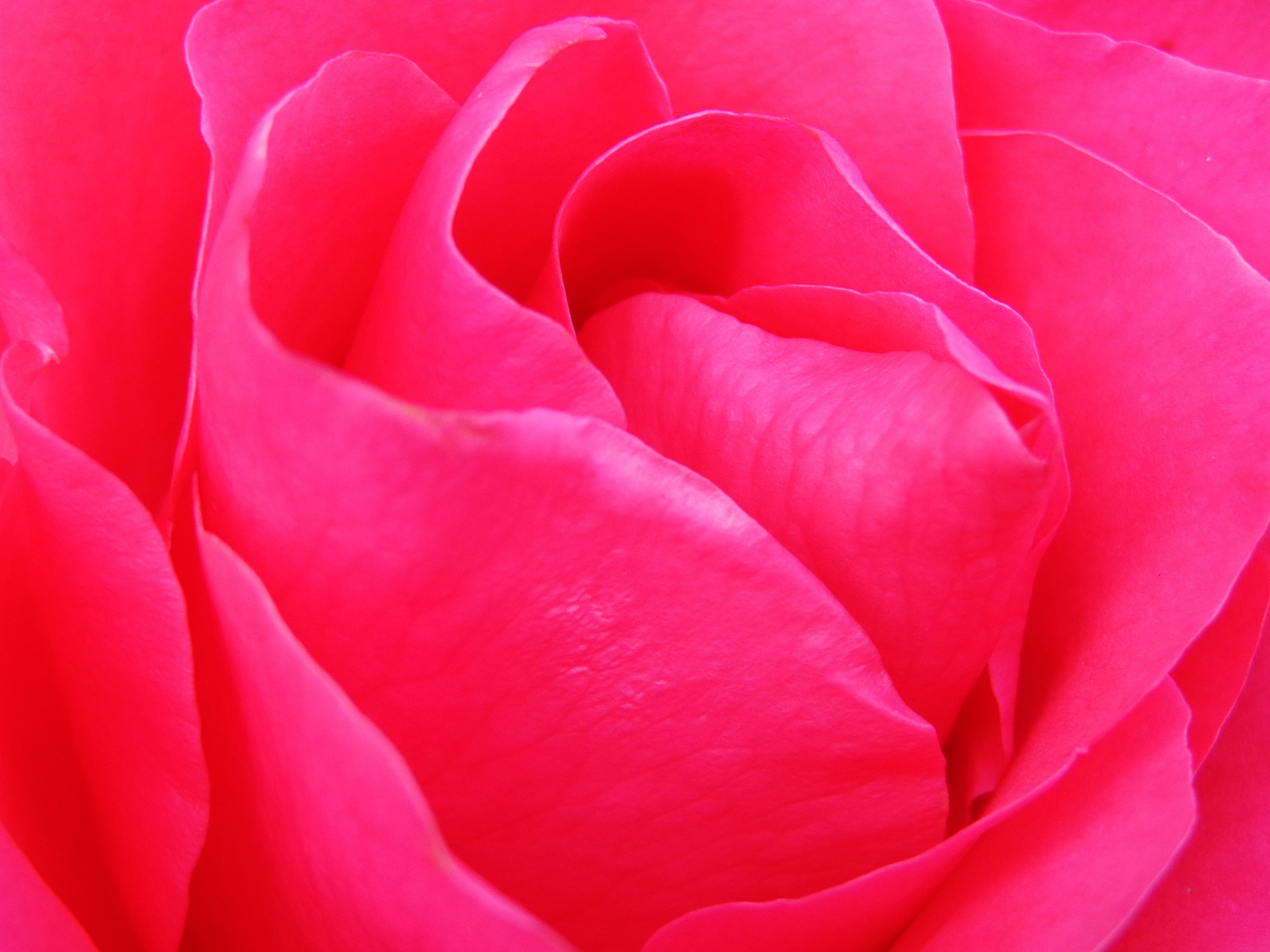 Immagini Belle Da Dipingere immagini belle : struttura, fiore, petalo, tulipano