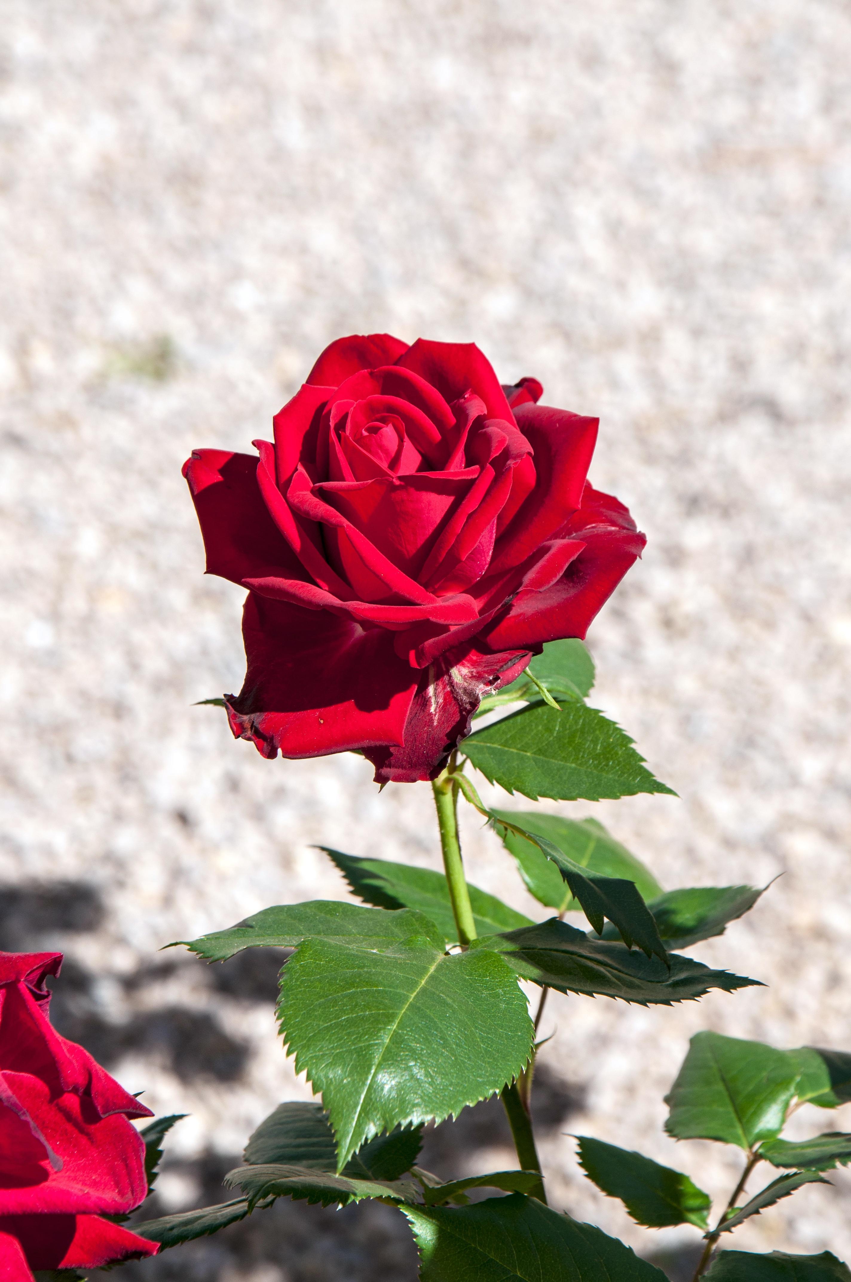 Free Images : texture, leaf, flower, petal, botany, pink, flora, red rose, petals, macro ...