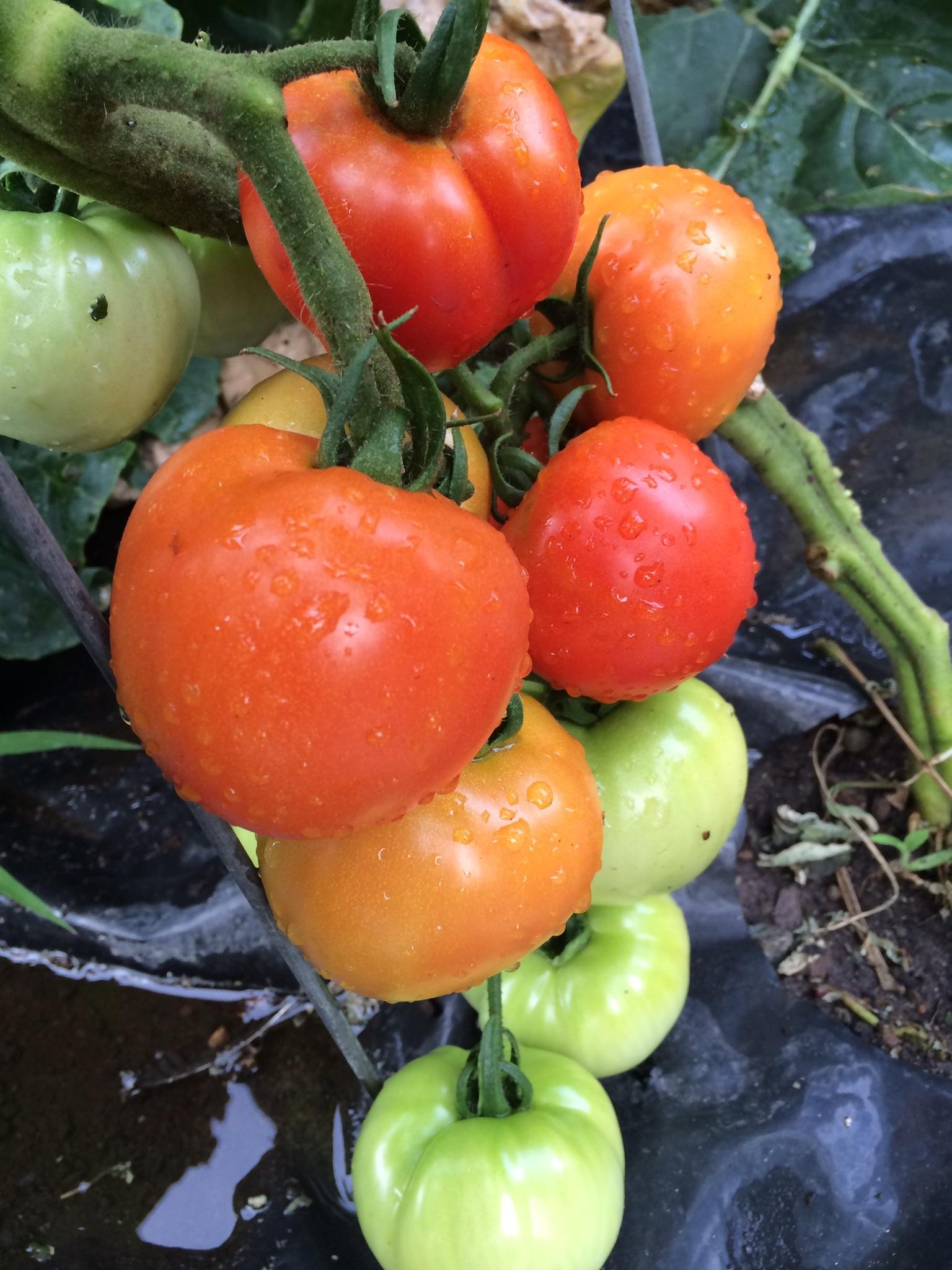 Kartoffel Bilder Kostenlos kostenlose foto rebe frucht reif lebensmittel produzieren