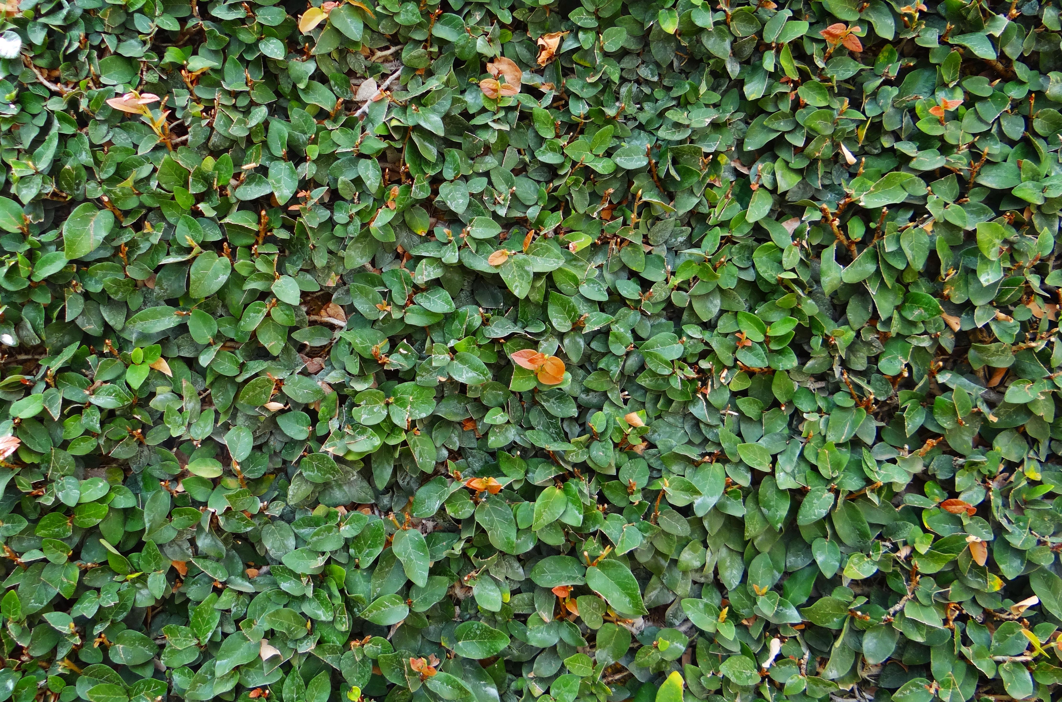 Kostenlose foto Rebe Blatt Blume Laub Grün produzieren