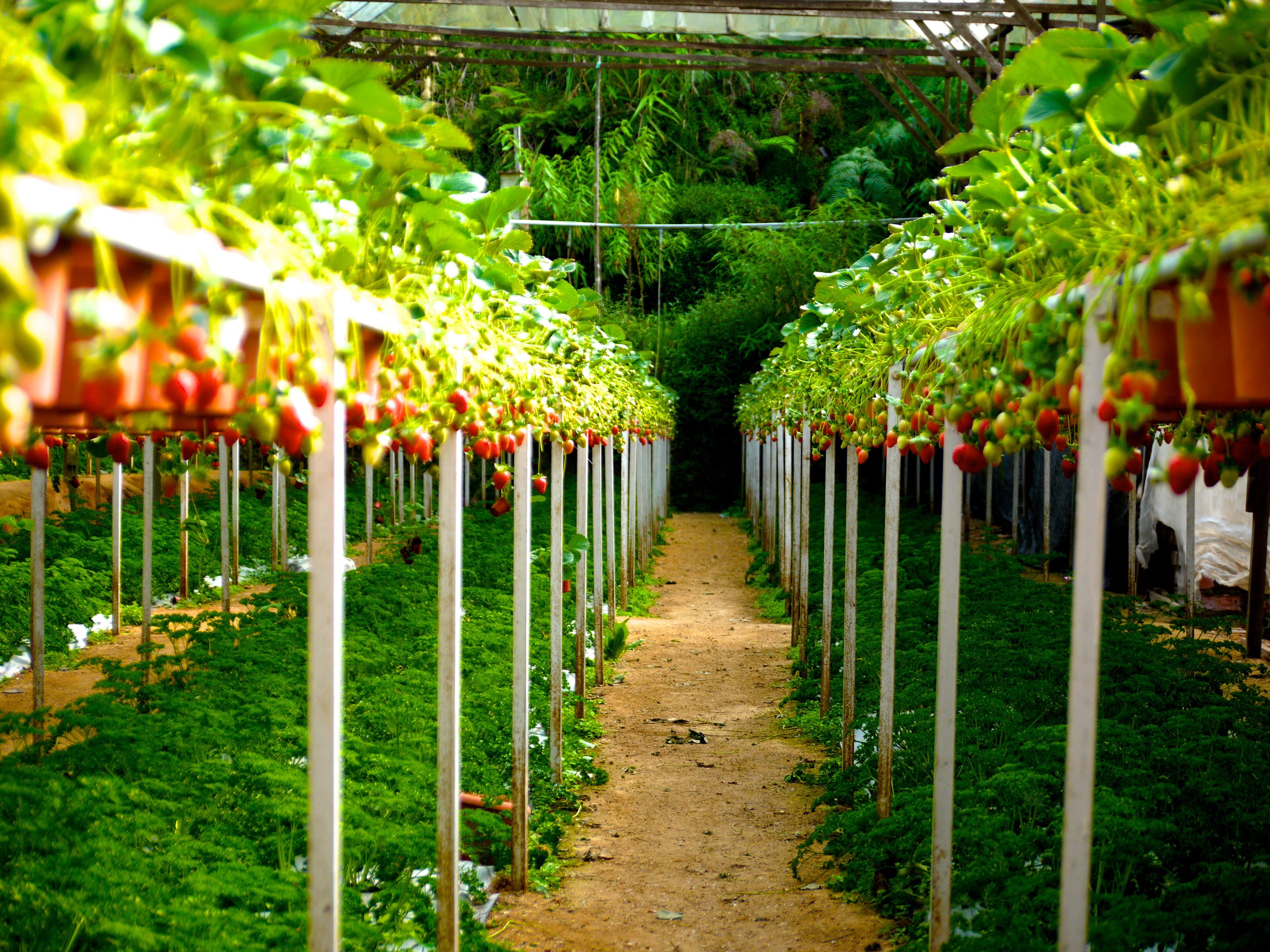 menanam kebun anggur tanah pertanian bunga matang hijau pertanian menghasilkan botani pertanian taman rumah kaca stroberi & Gambar : menanam kebun anggur tanah pertanian bunga matang ...