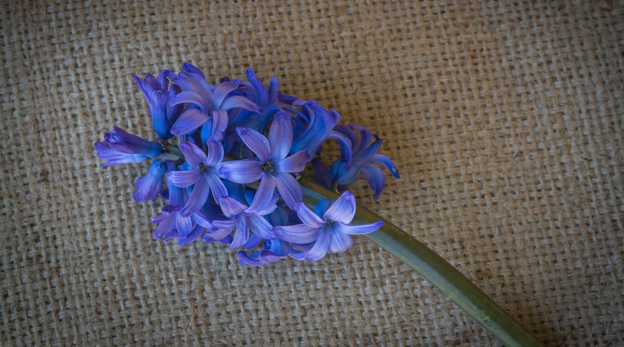 Free images wheel purple petal close blue flower art plant wheel flower purple petal blue close blue flower flowers art fragrant hyacinth spring flower blue mightylinksfo