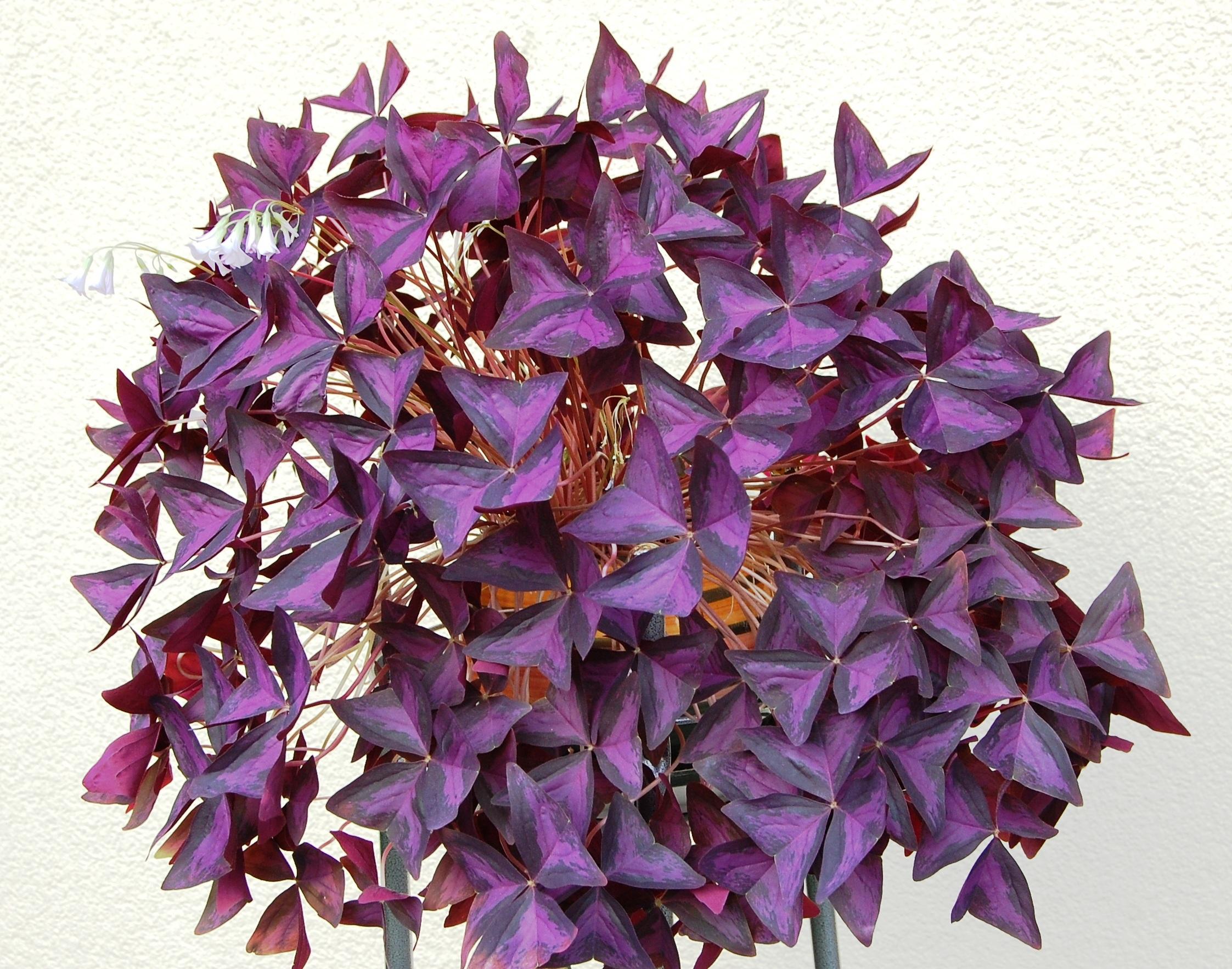Fotos gratis : rueda, flor, púrpura, pétalo, trébol, art, planta ...