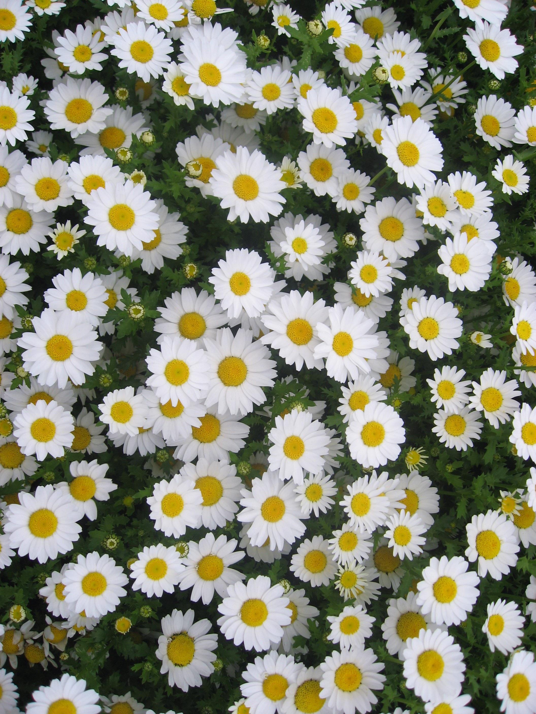 Gambar Menanam Bidang Imut Bunga Aster Wanita Aroma Hijau Herba Kecil Botani Kuning Jepang Bunga Bunga Hamparan Bunga Kanagawa Cantik Krisan Budidaya Bunga Banyak Keharuman Margaret Otsu Taman Yokosuka Tanaman Berbunga Keluarga