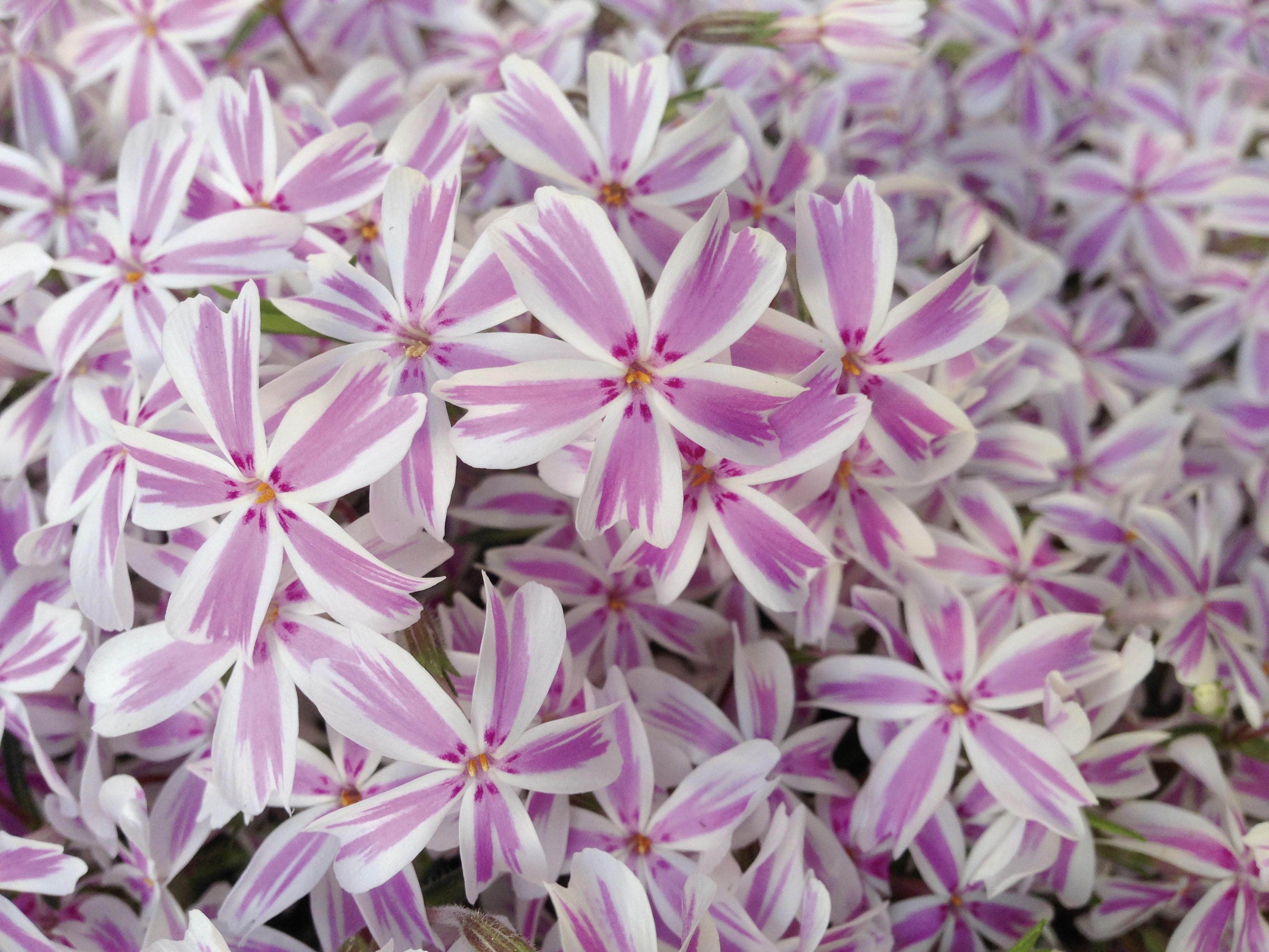 Free Images White Petal Botany Pink Flora Striped Wildflower