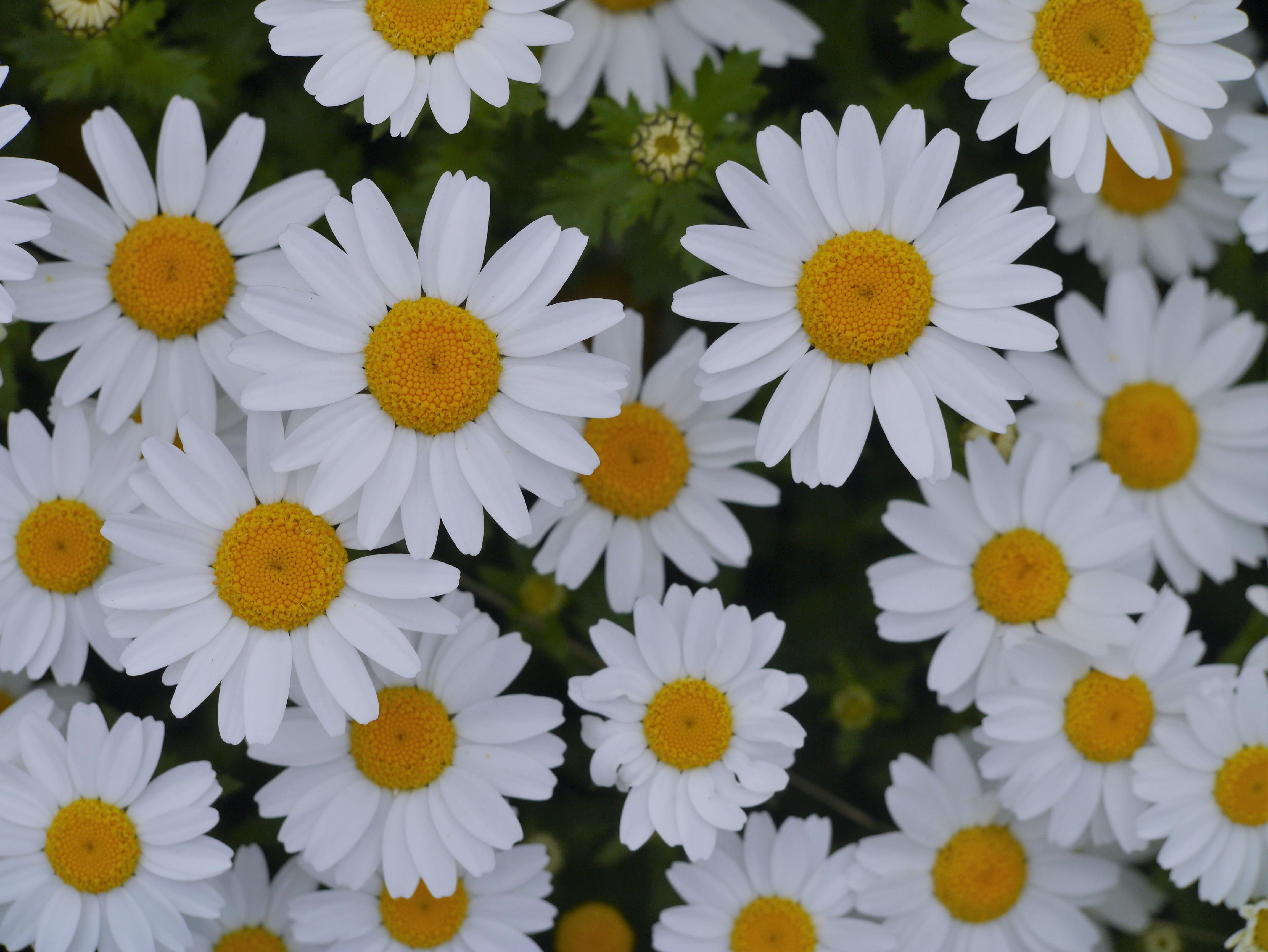 Gambar Menanam Daun Bunga Imut Bunga Aster Wanita Aroma Hijau Herba Kecil Kuning Jepang Flora Bunga Bunga Hamparan Bunga Benang Sari Kanagawa April Cantik Krisan Taman Bunga Budidaya Bunga Banyak Keharuman Margaret