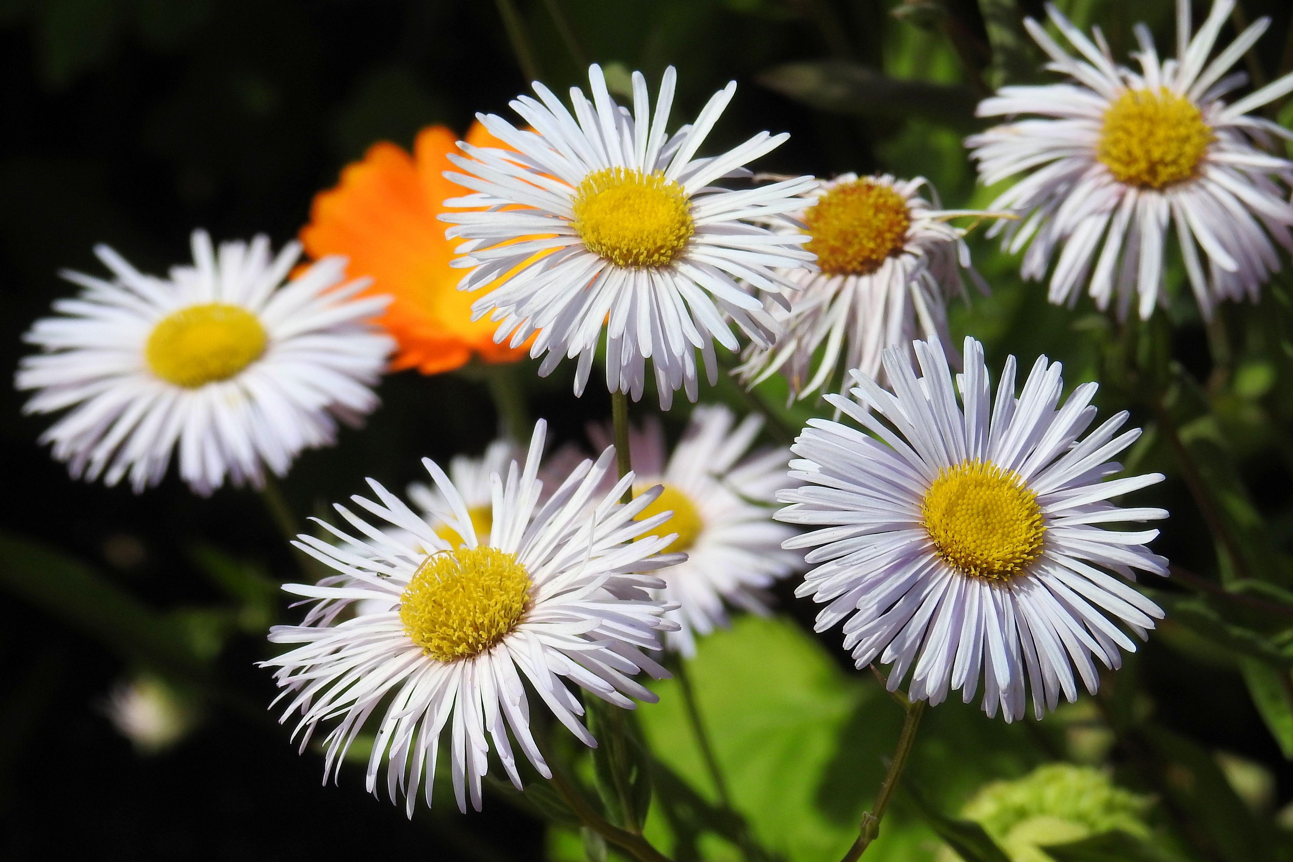 Free Images Flower Petal Botany Flora Wildflower Aster