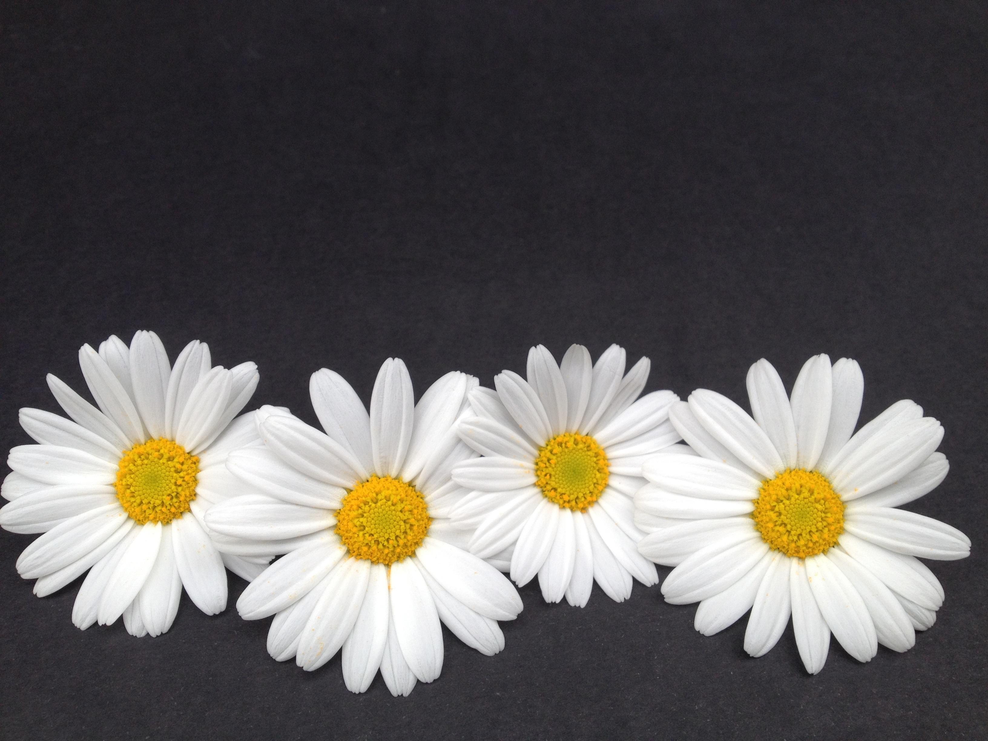 Fotos gratis : blanco, flor, pétalo, decoración, ornamento, art ...