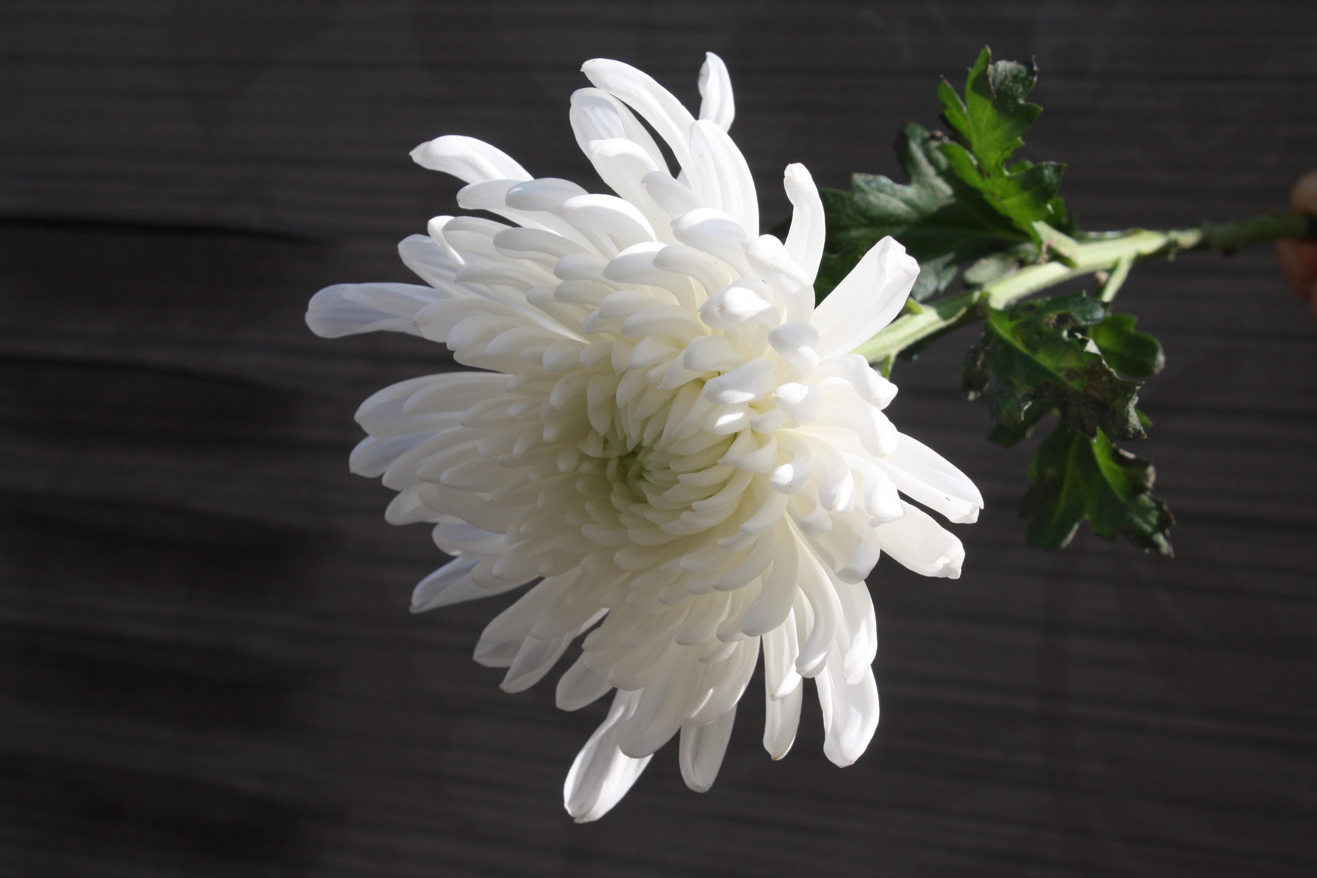 Free images white petal flora chrysanthemum floristry grief plant white flower petal flora chrysanthemum floristry grief mourning flowering plant article daisy family flower bouquet mightylinksfo