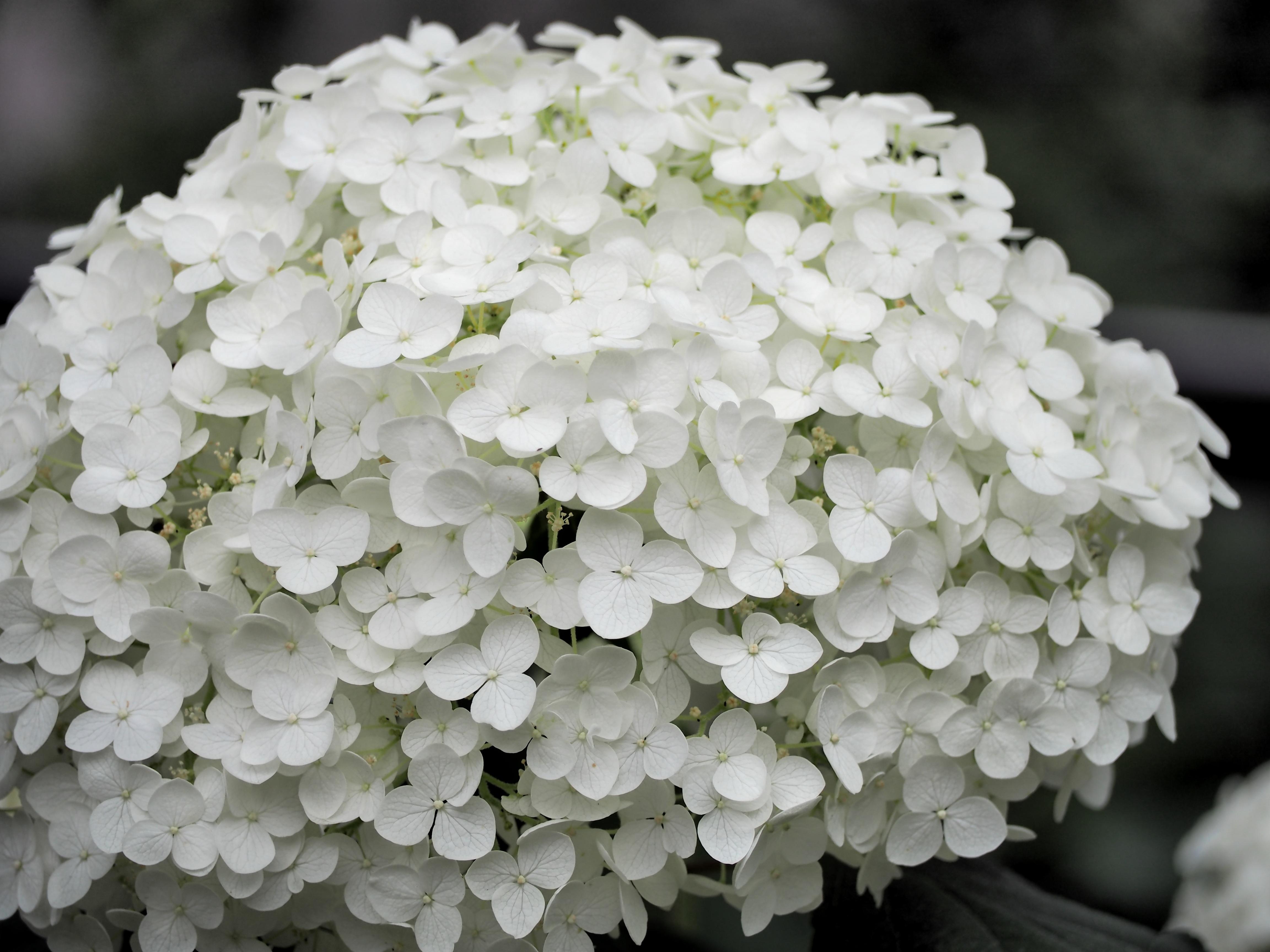 Free Images Flower Petal Hydrangea Viburnum White Flowers