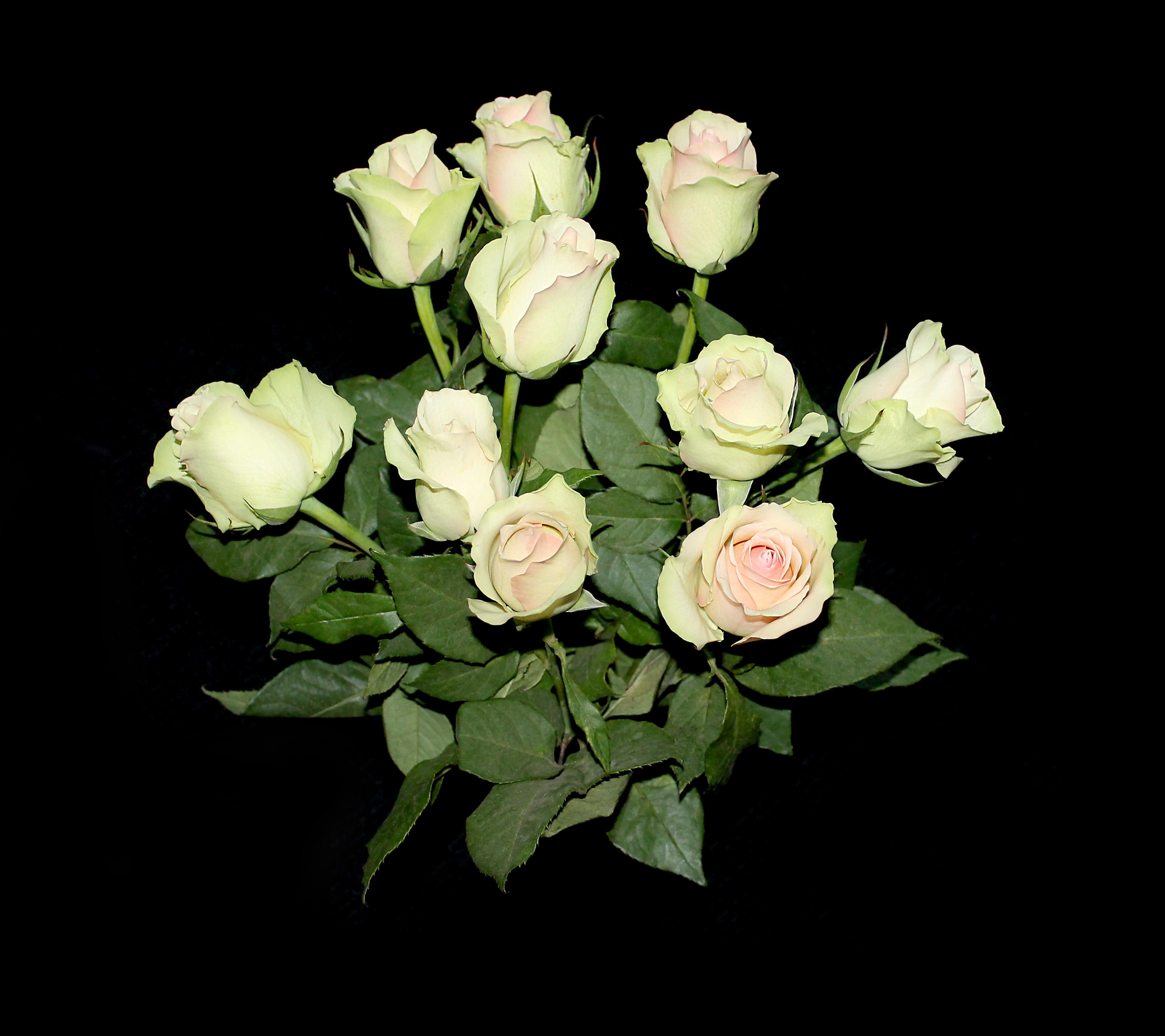 Garden Roses Flower Petal: Free Images : White, Petal, Love, Romance, Flora