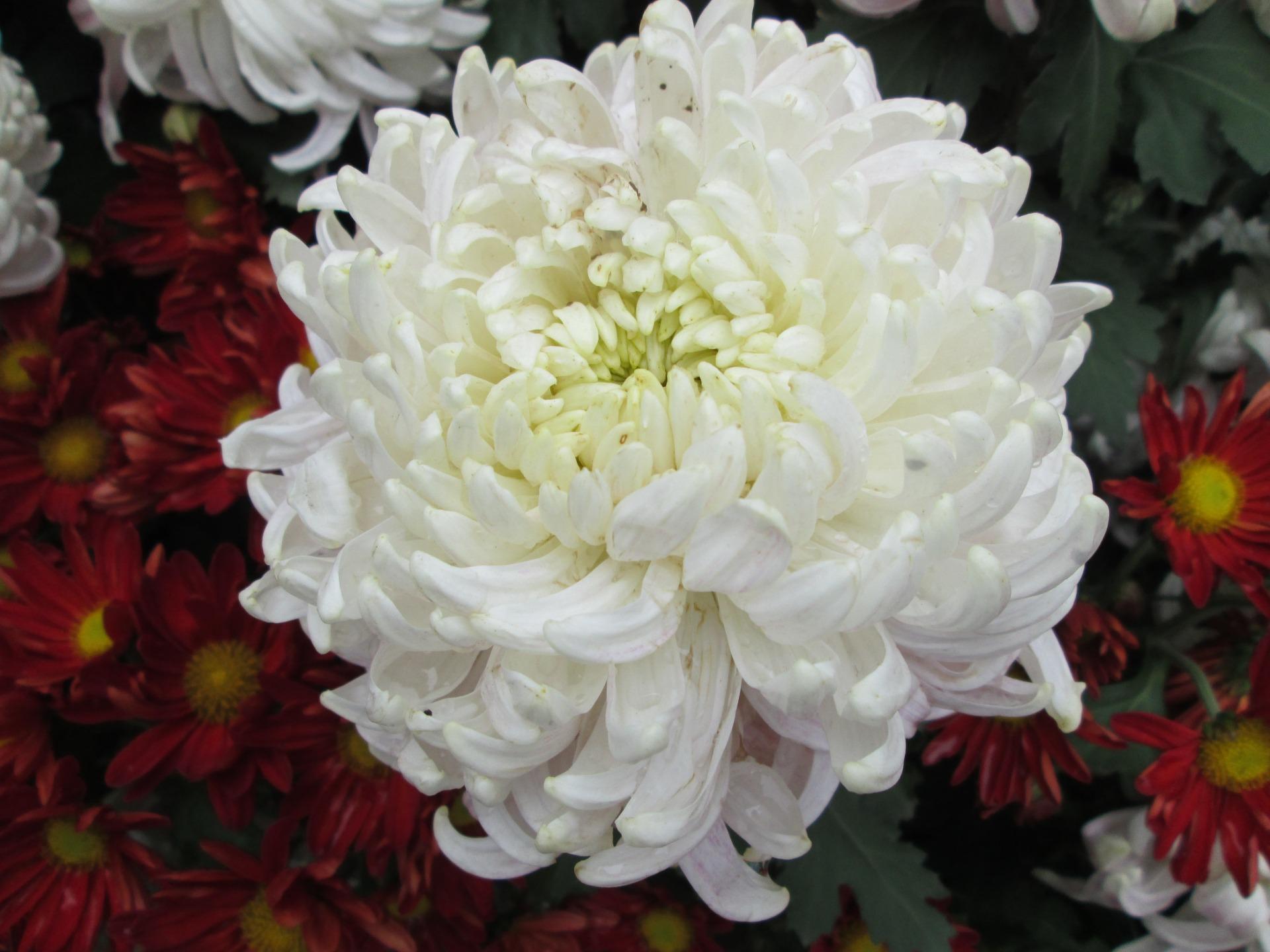 Показать цветы хризантемы в картинках