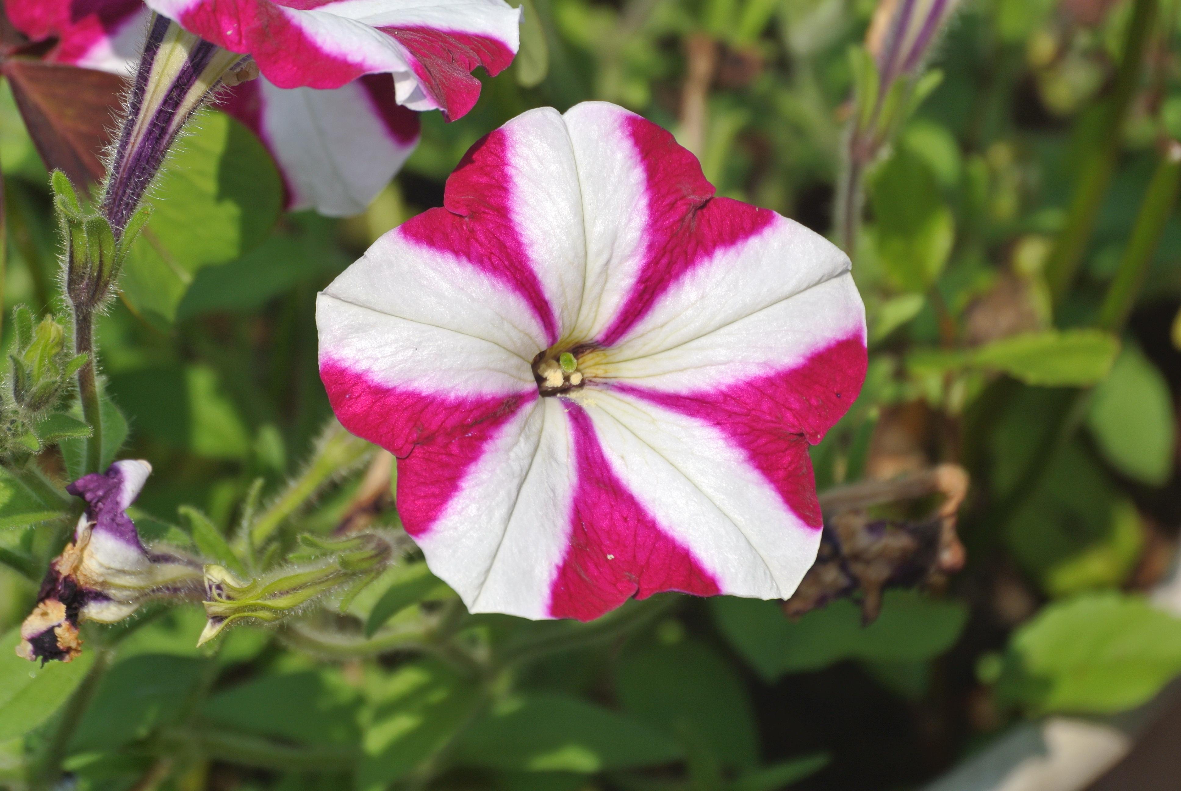 Free Images White Petal Pattern Botany Pink Flora Striped