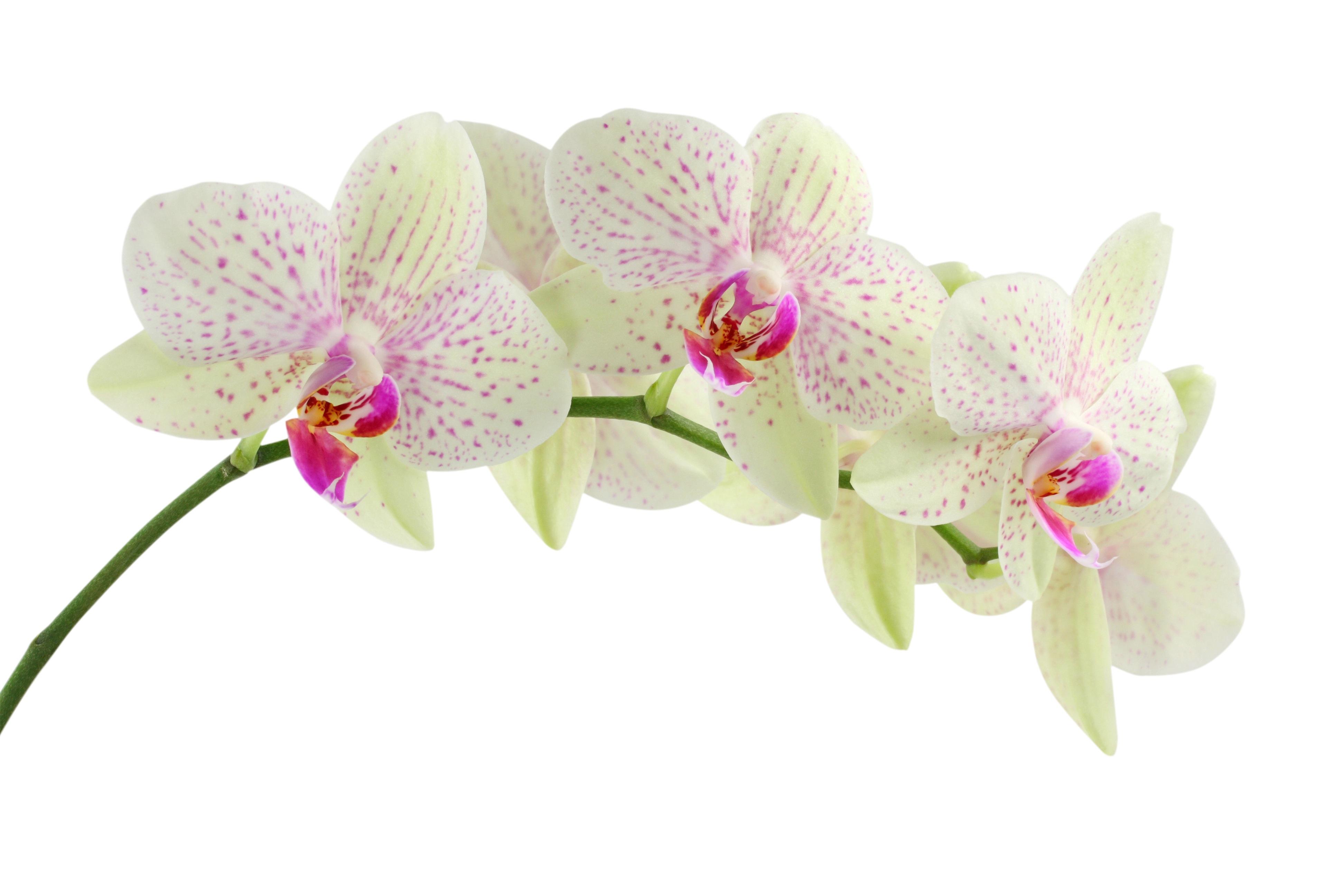 Immagini belle bianca fiore petalo rosa fiori for Orchidea pianta