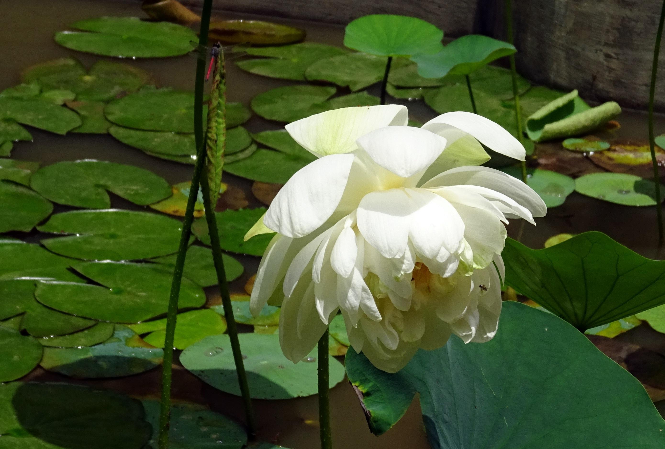 Free Images White Flower Petal Pond Green Botany Nelumbo