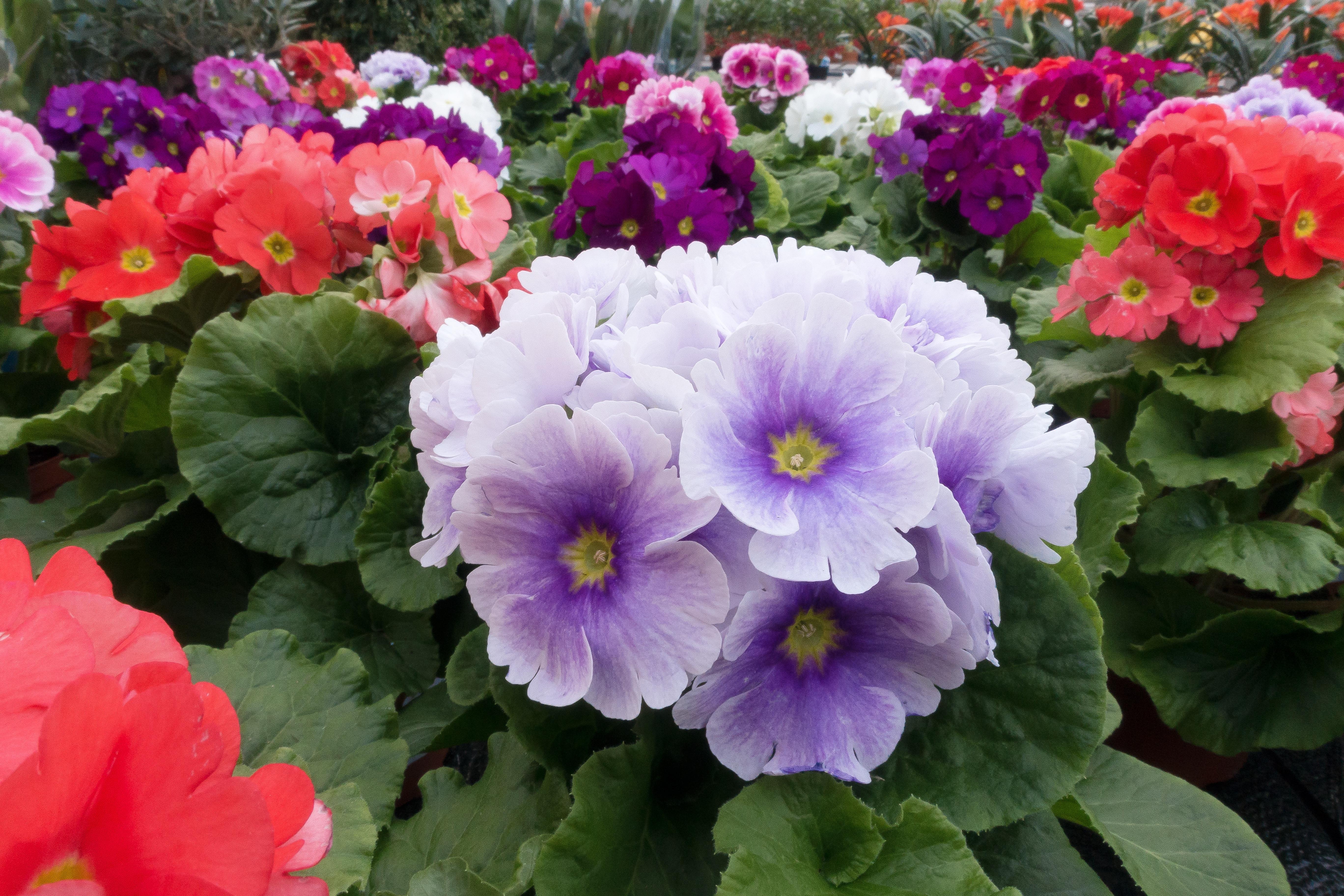 Fotos gratis blanco flor p talo flora invernadero for Plantas para invernadero