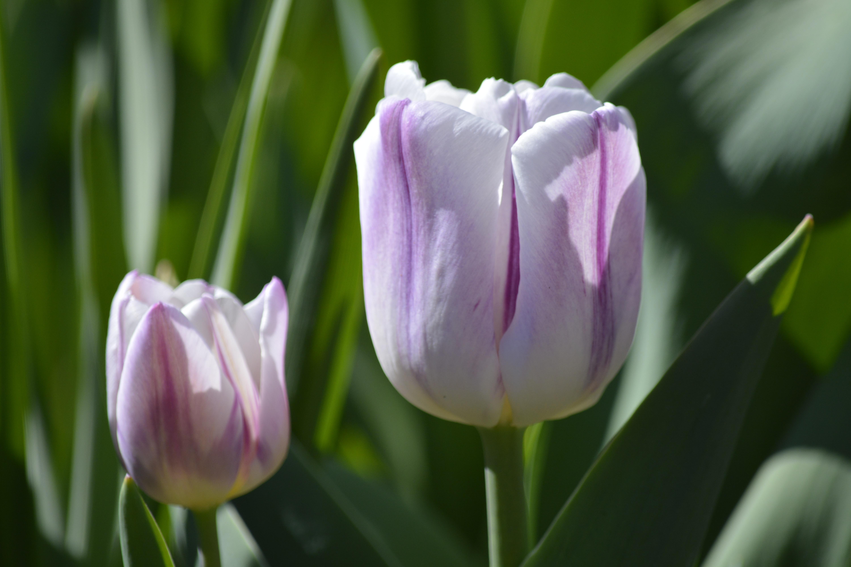 Free Images White Flower Purple Petal Floral Tulip Garden