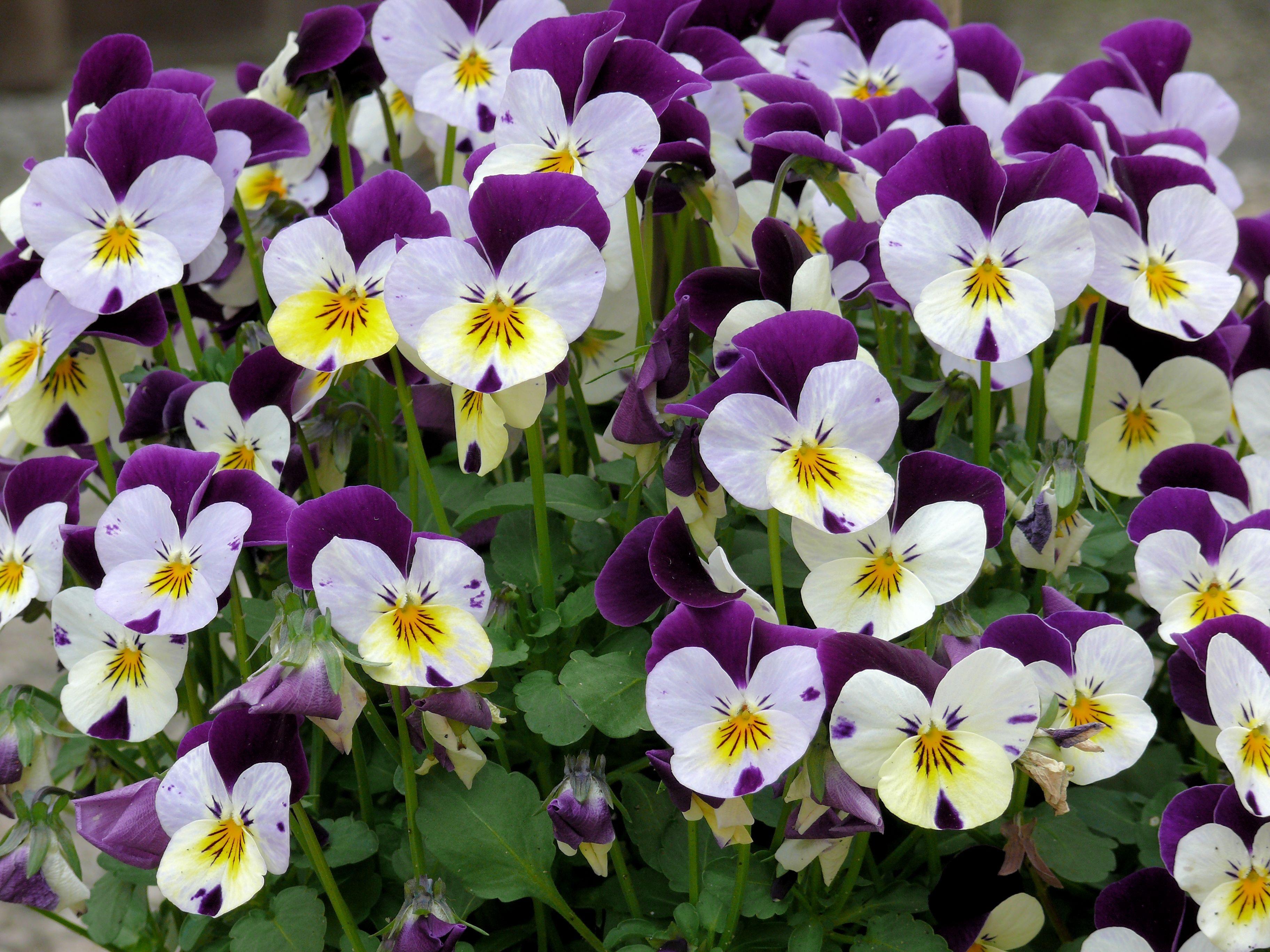 Gratis billeder : hvid, blomst, lilla, kronblad, forår, have, flora, blomster, violer, viola ...