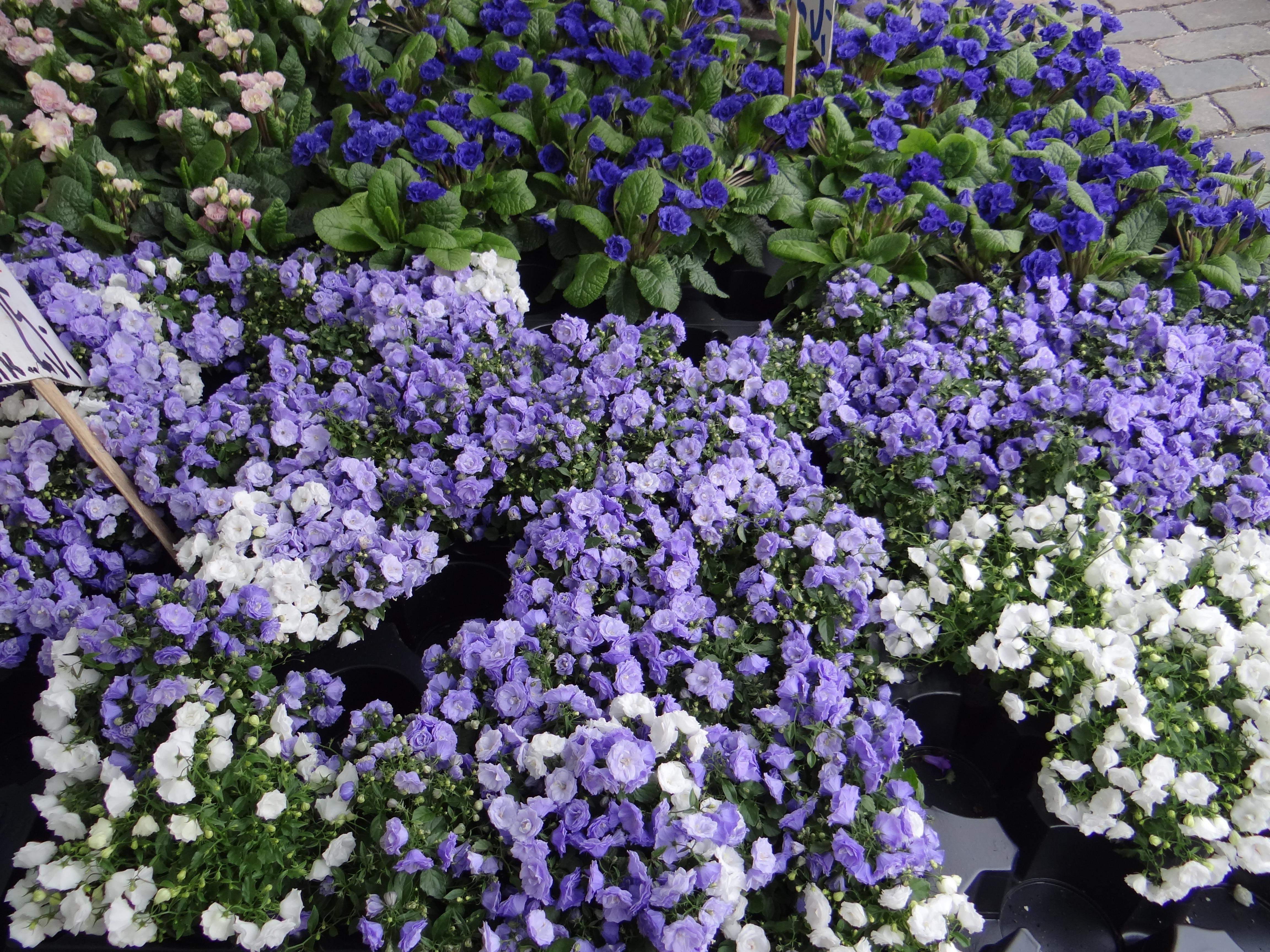 Free Images White Spring Pink Flowers Flower Market Shrub