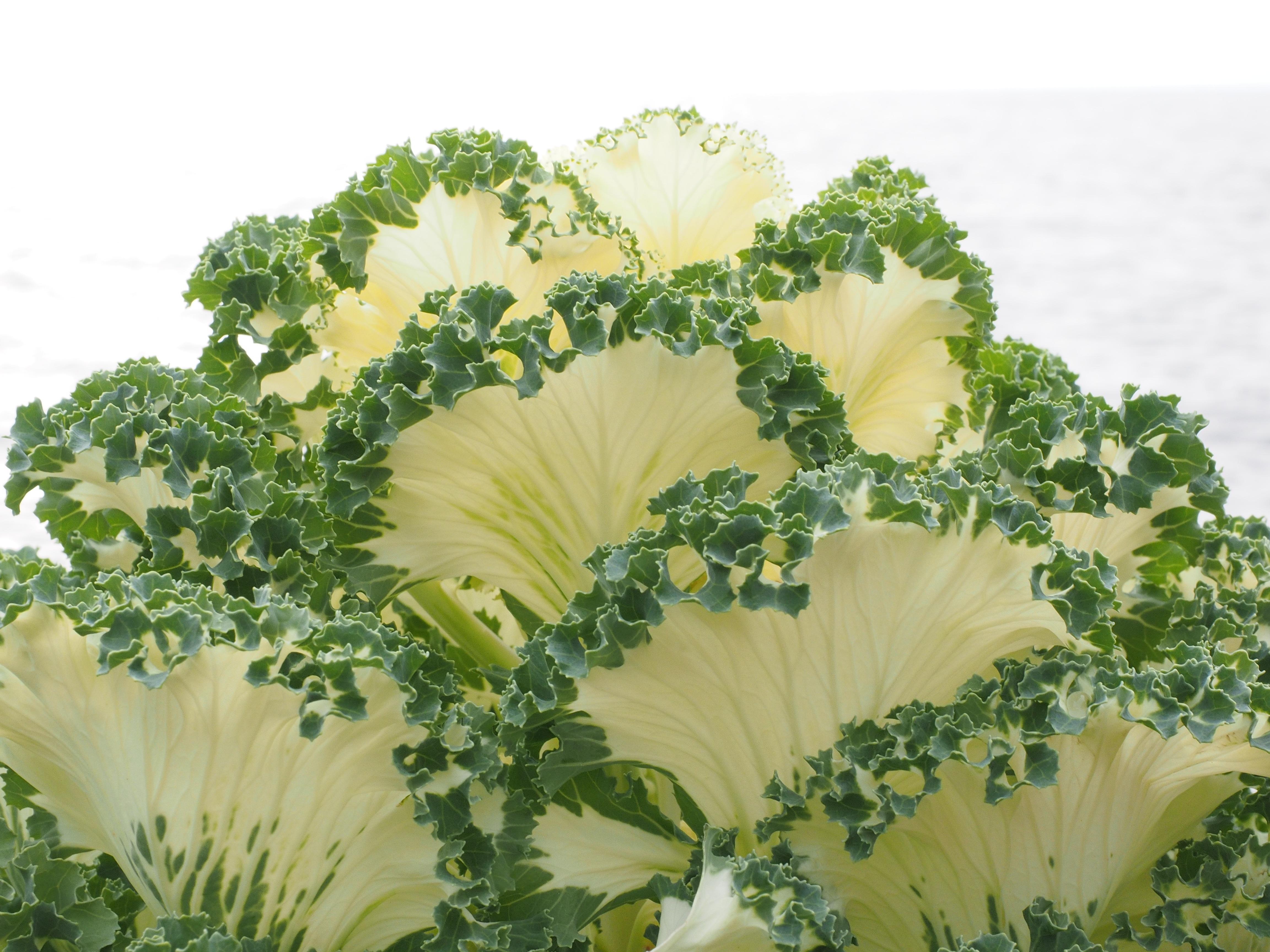 Free Images White Flower Food Produce Botany Close Broccoli