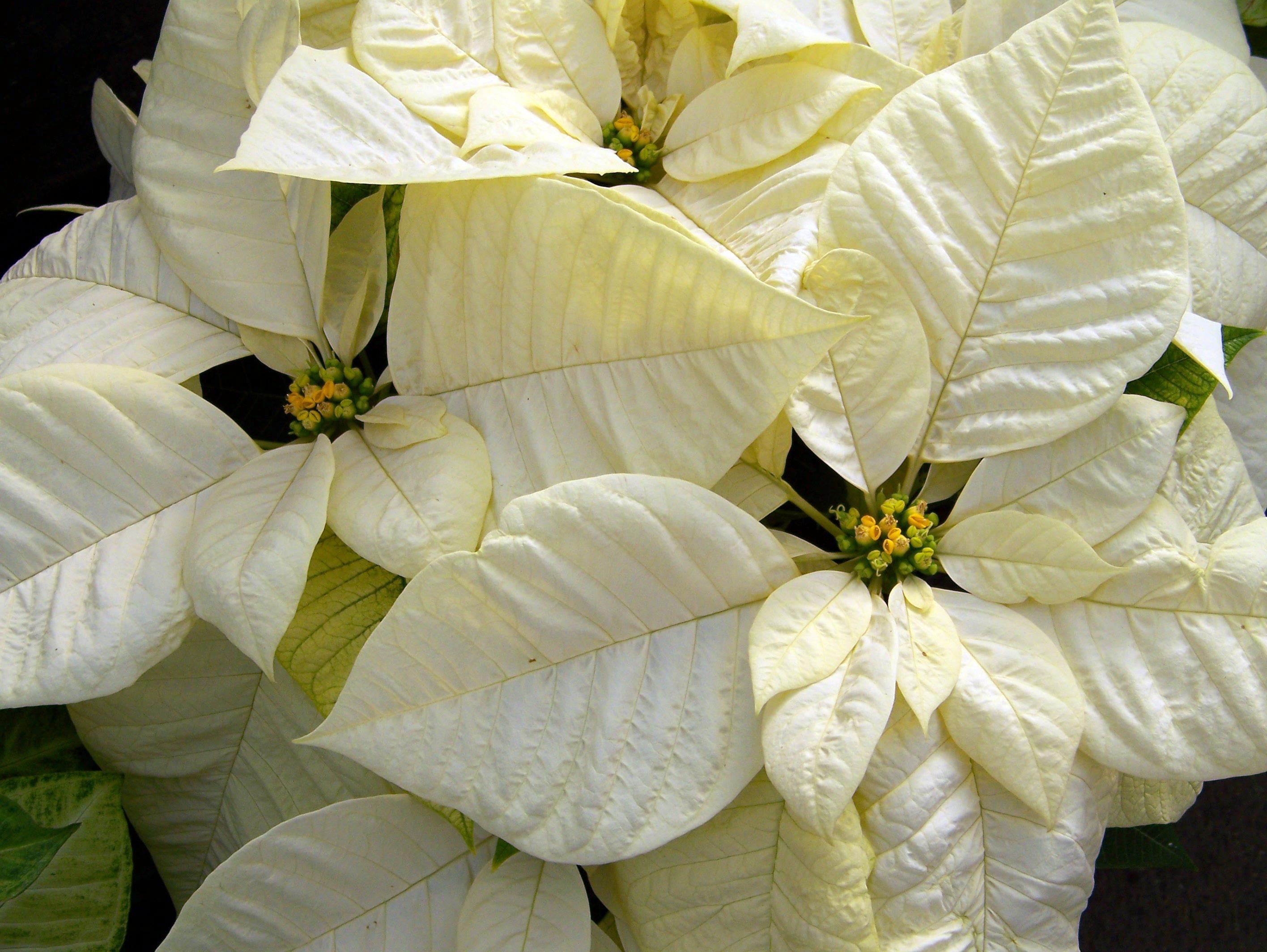 Free Images Leaf Petal Green Yellow Flora Xmas Floristry
