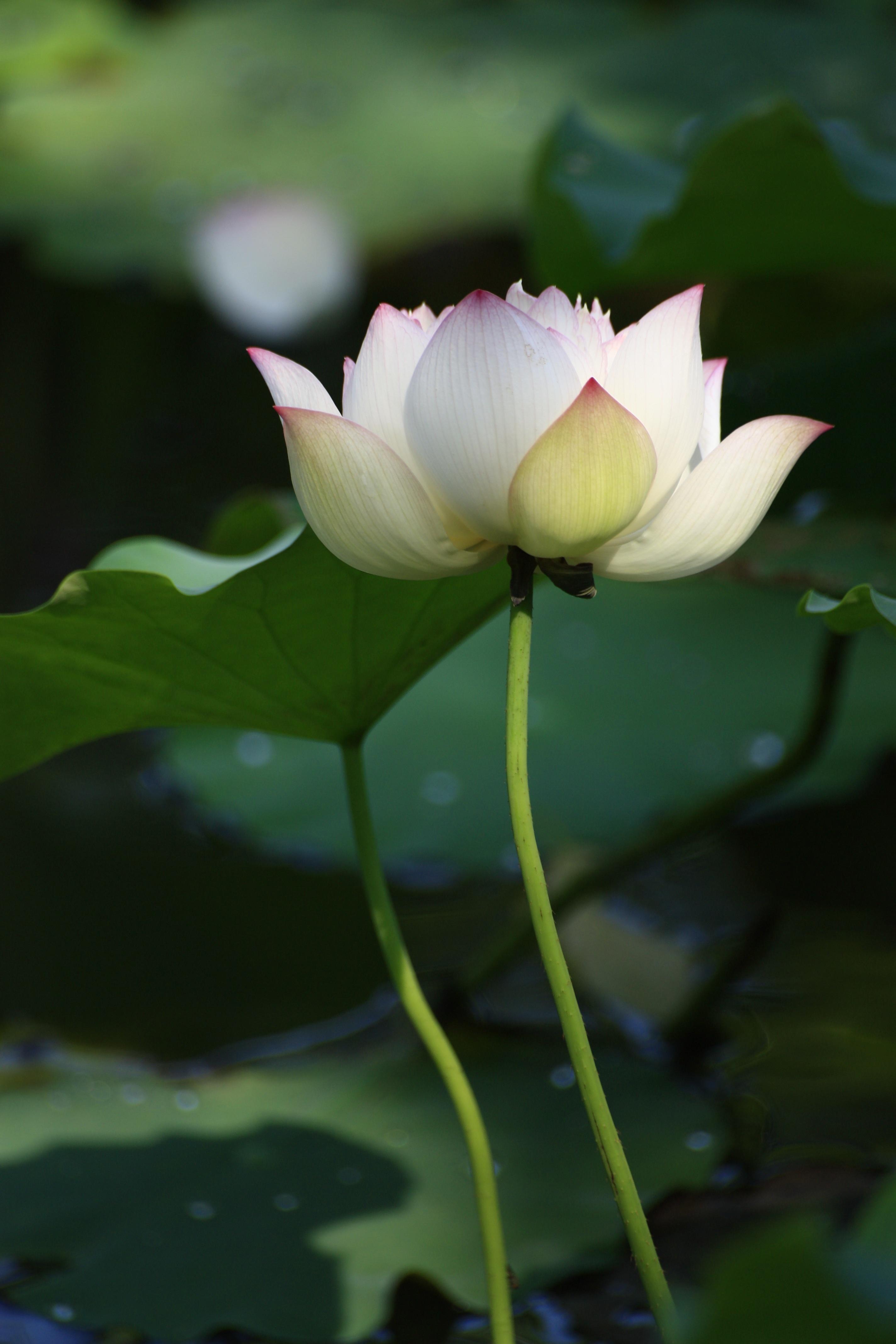 Fotos gratis : blanco, hoja, pétalo, estanque, primavera, verde ...