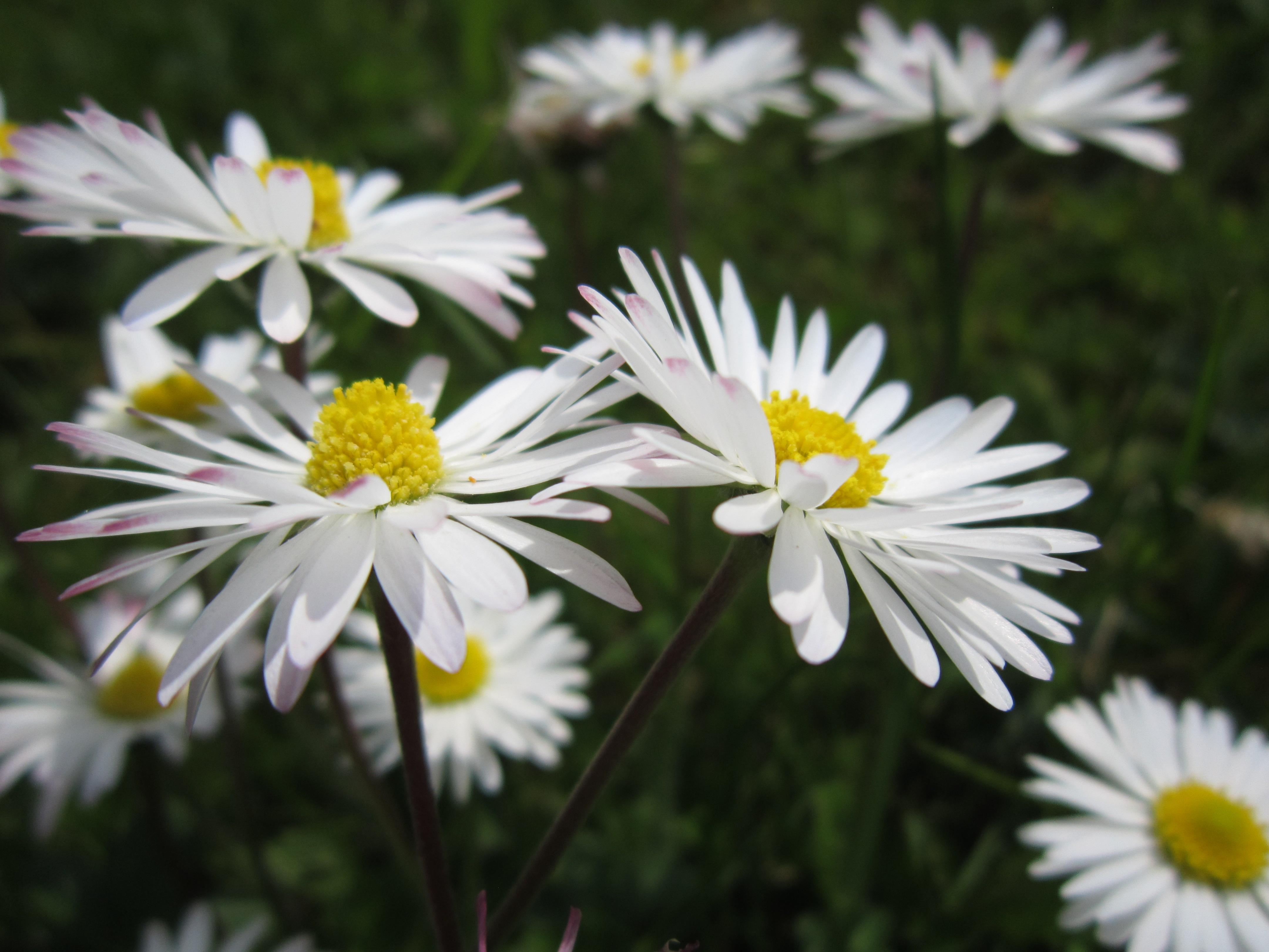 Free Images White Petal Spring Green Botany Flora Wildflower