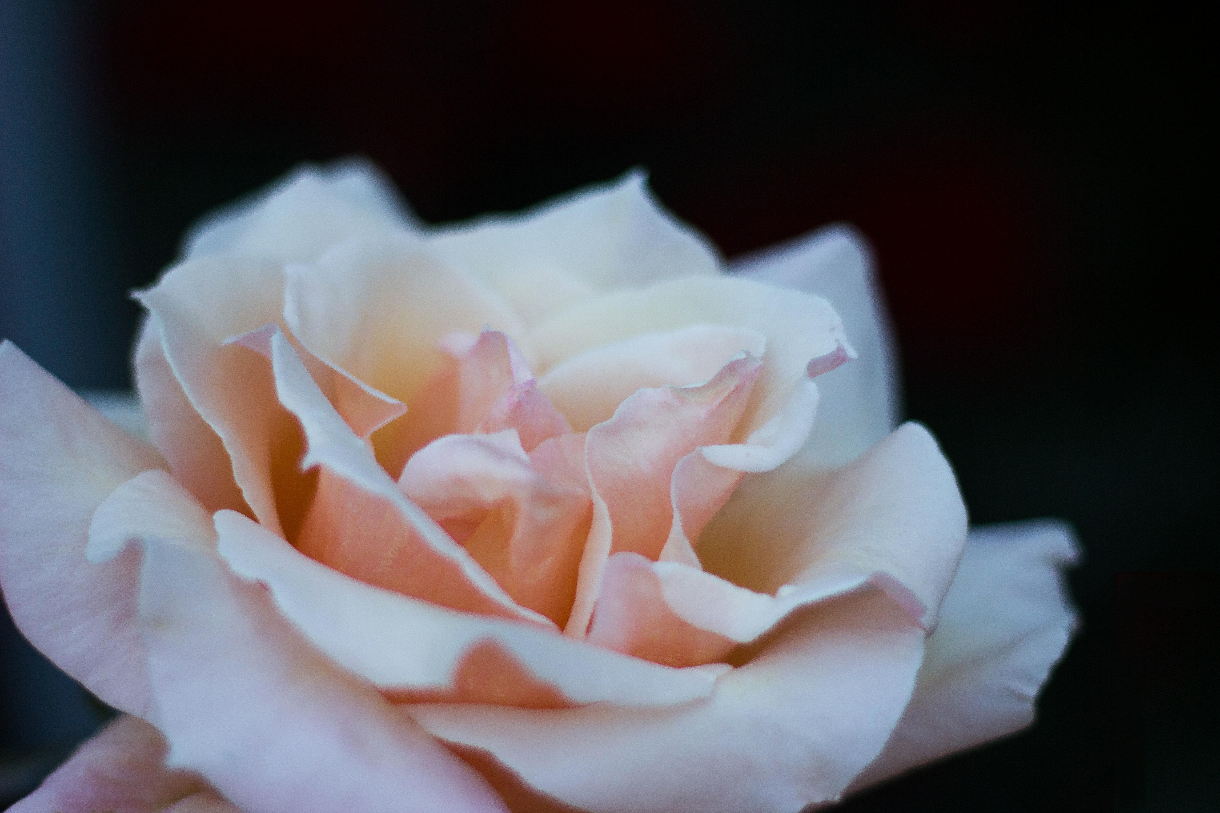 menanam putih fotografi bunga daun bunga mawar berwarna merah muda Flora kelopak bunga mawar merapatkan floribunda