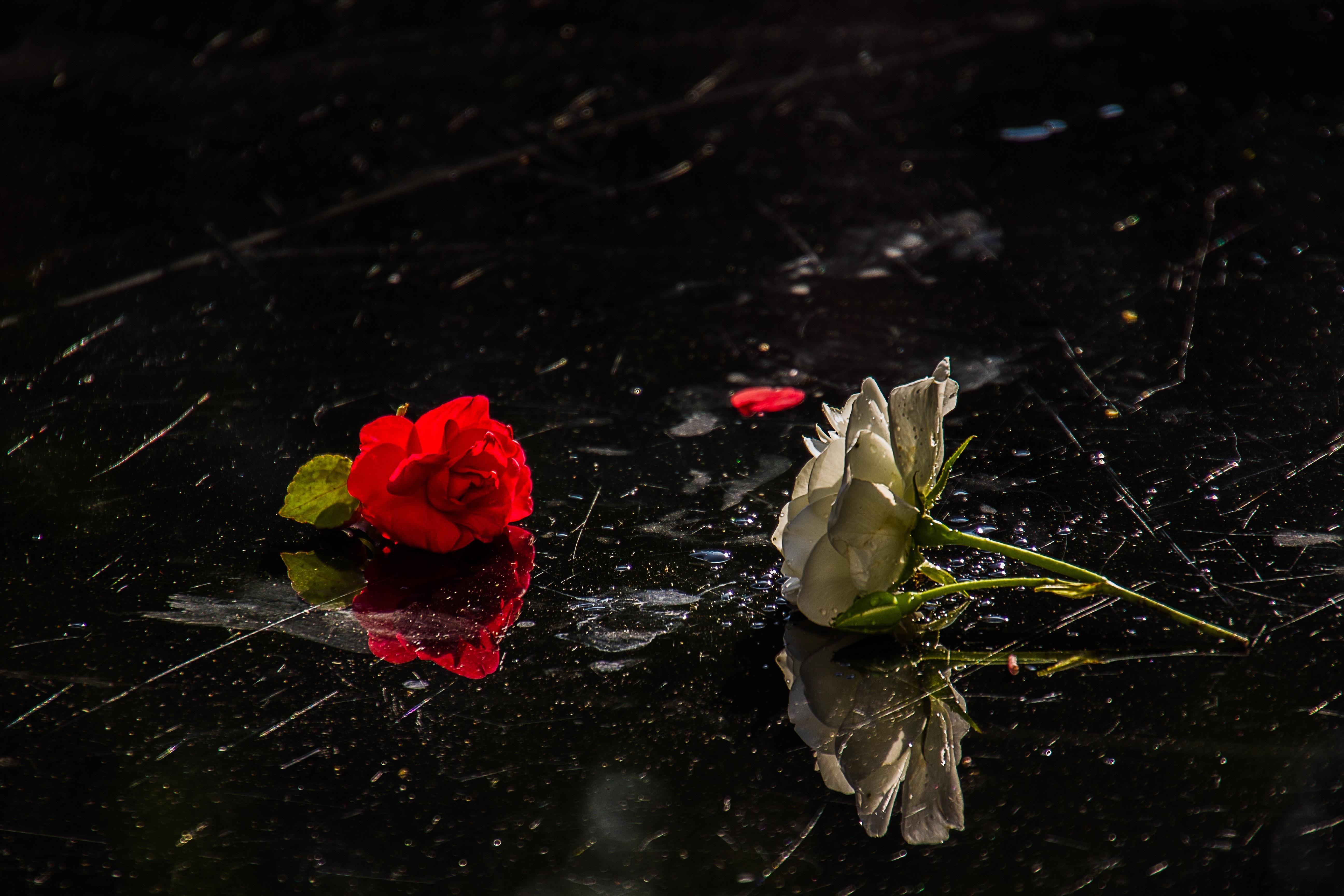 Gambar Menanam Putih Daun Bunga Mawar Hijau Merah Warna