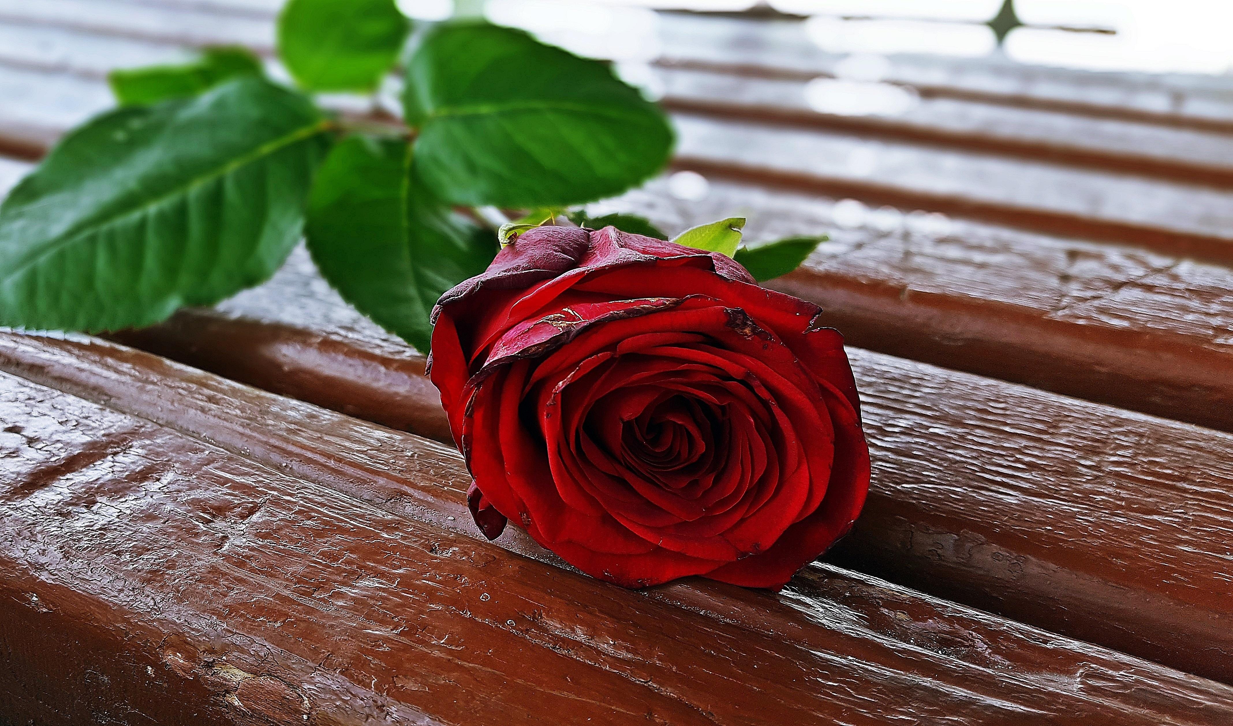 Free Images Woman Leaf Petal Floral Love Gift Romance