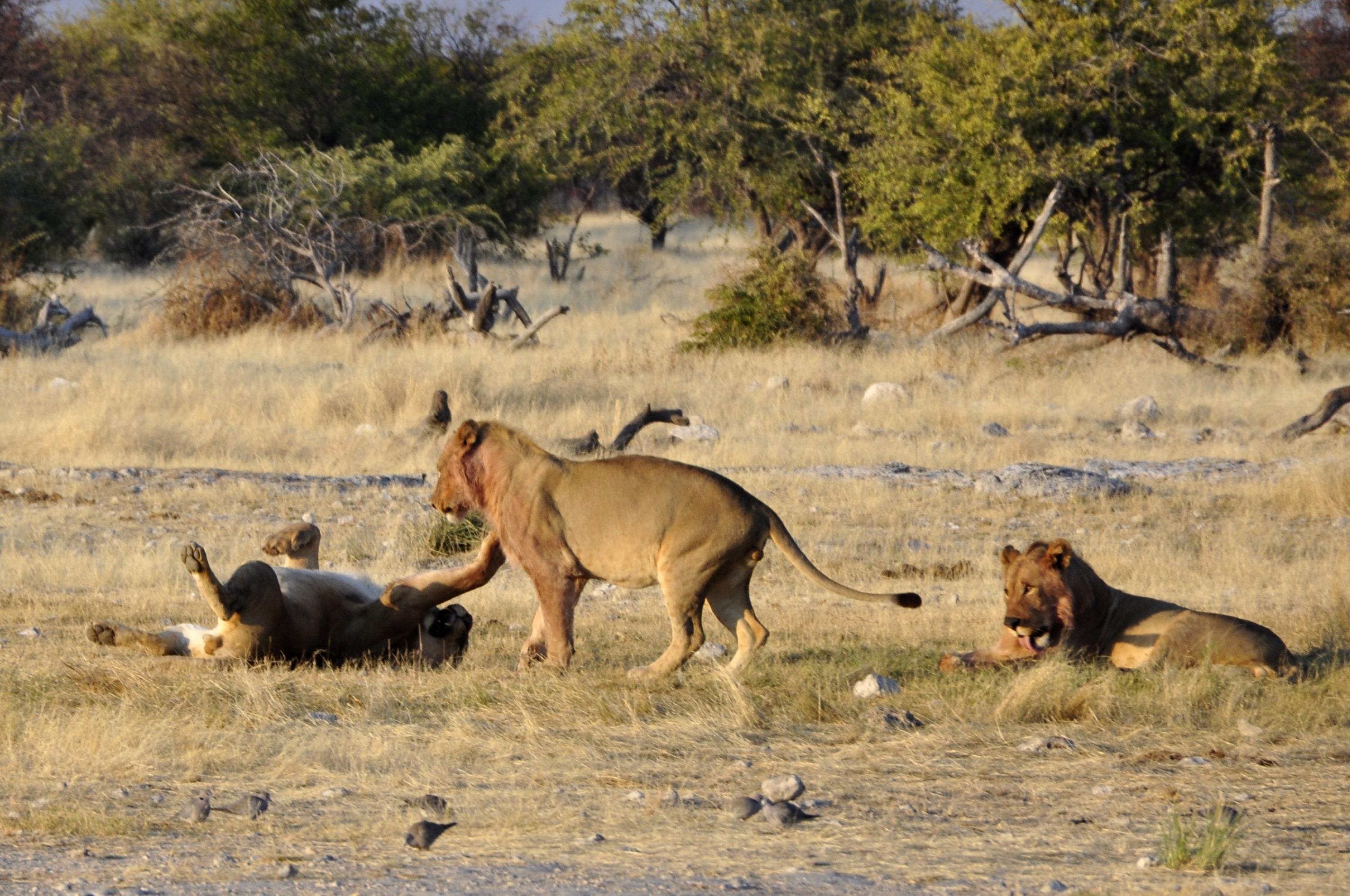 Images gratuites jouer aventure faune afrique savane - Photos de lions gratuites ...