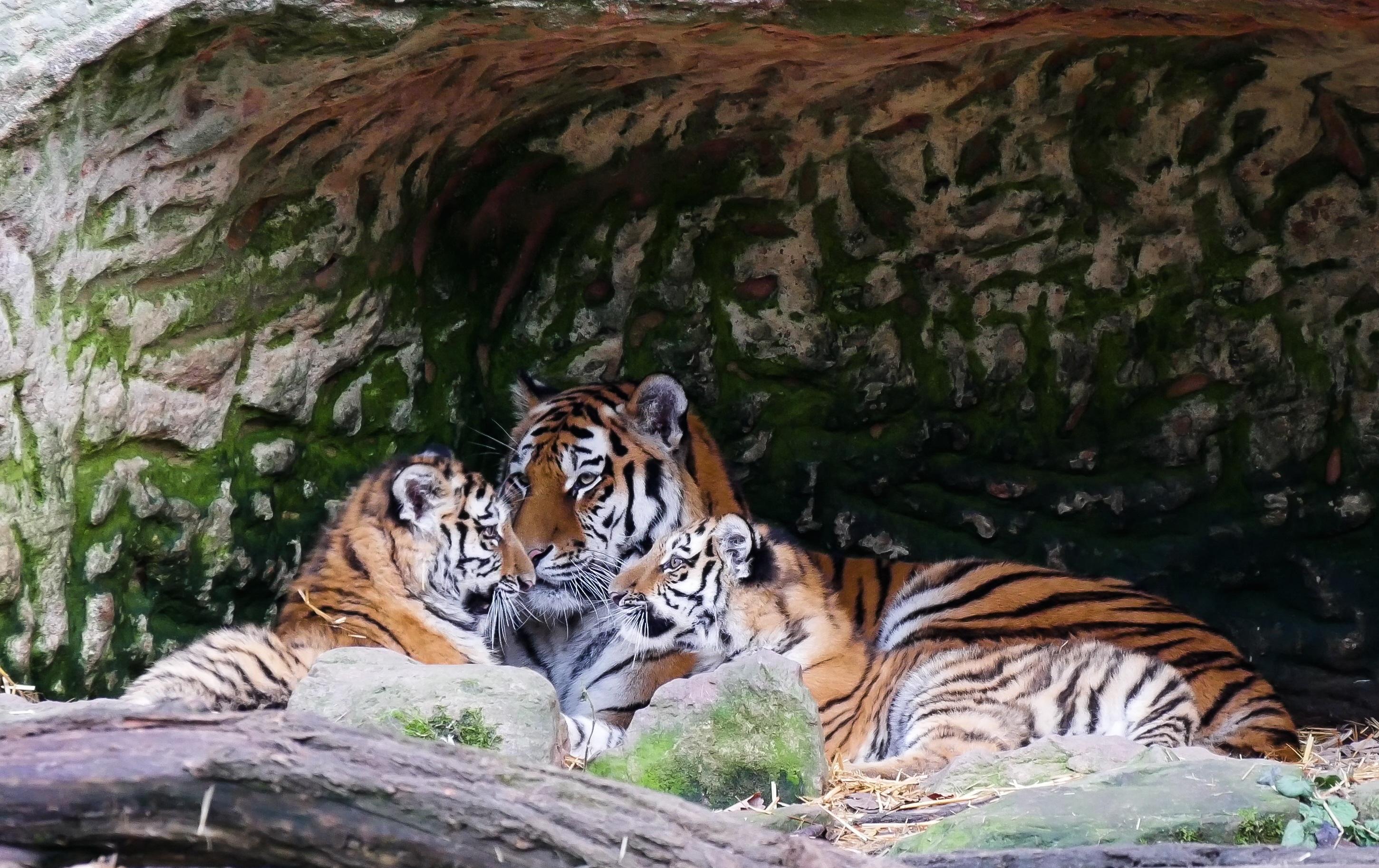 Images gratuites jouer faune zoo jungle chat - Images tigres gratuites ...