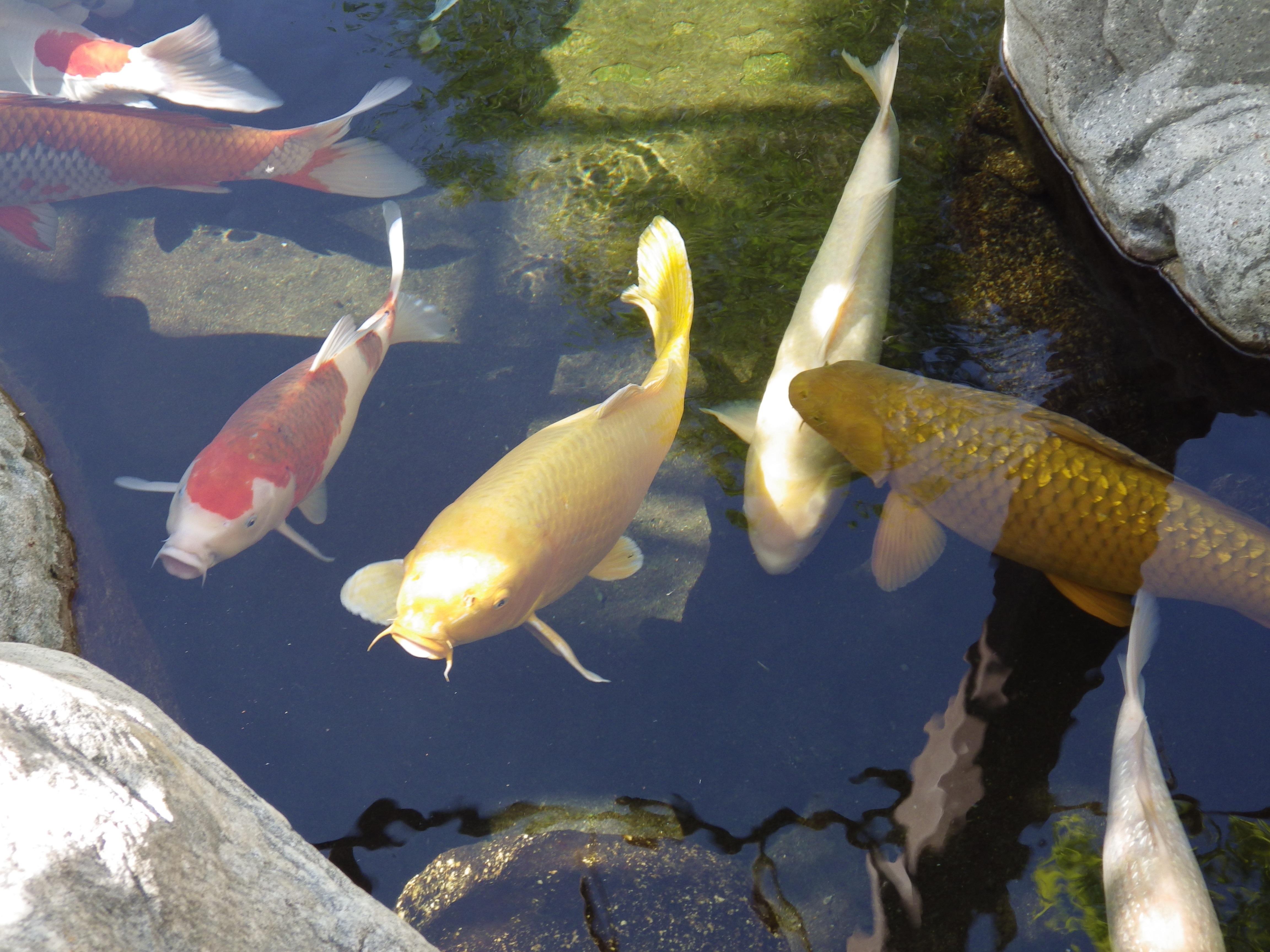 картинки рыб прудовых это капля