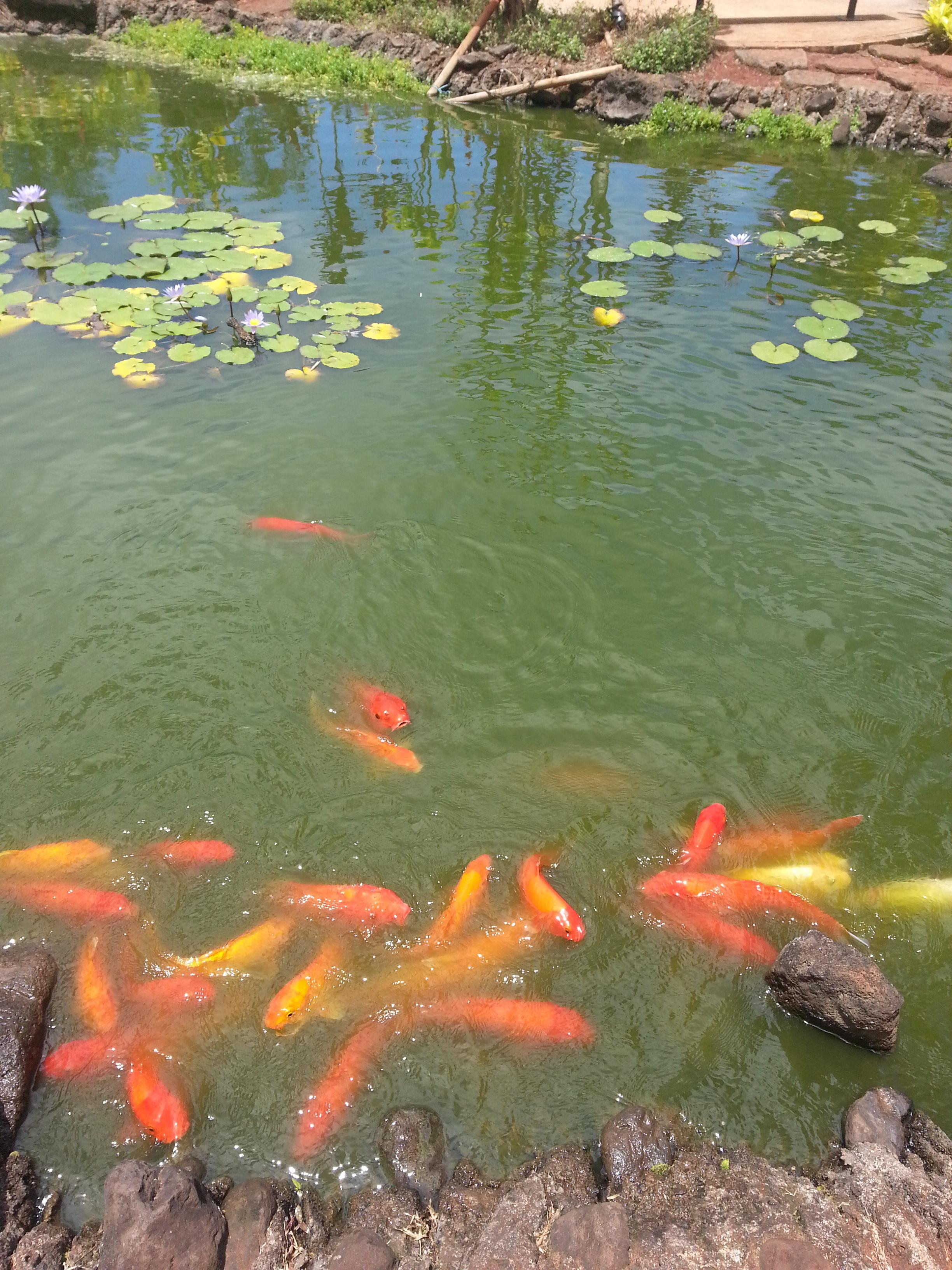 Fotos gratis pescado koi estanque de peces fen meno for Estanque peces koi