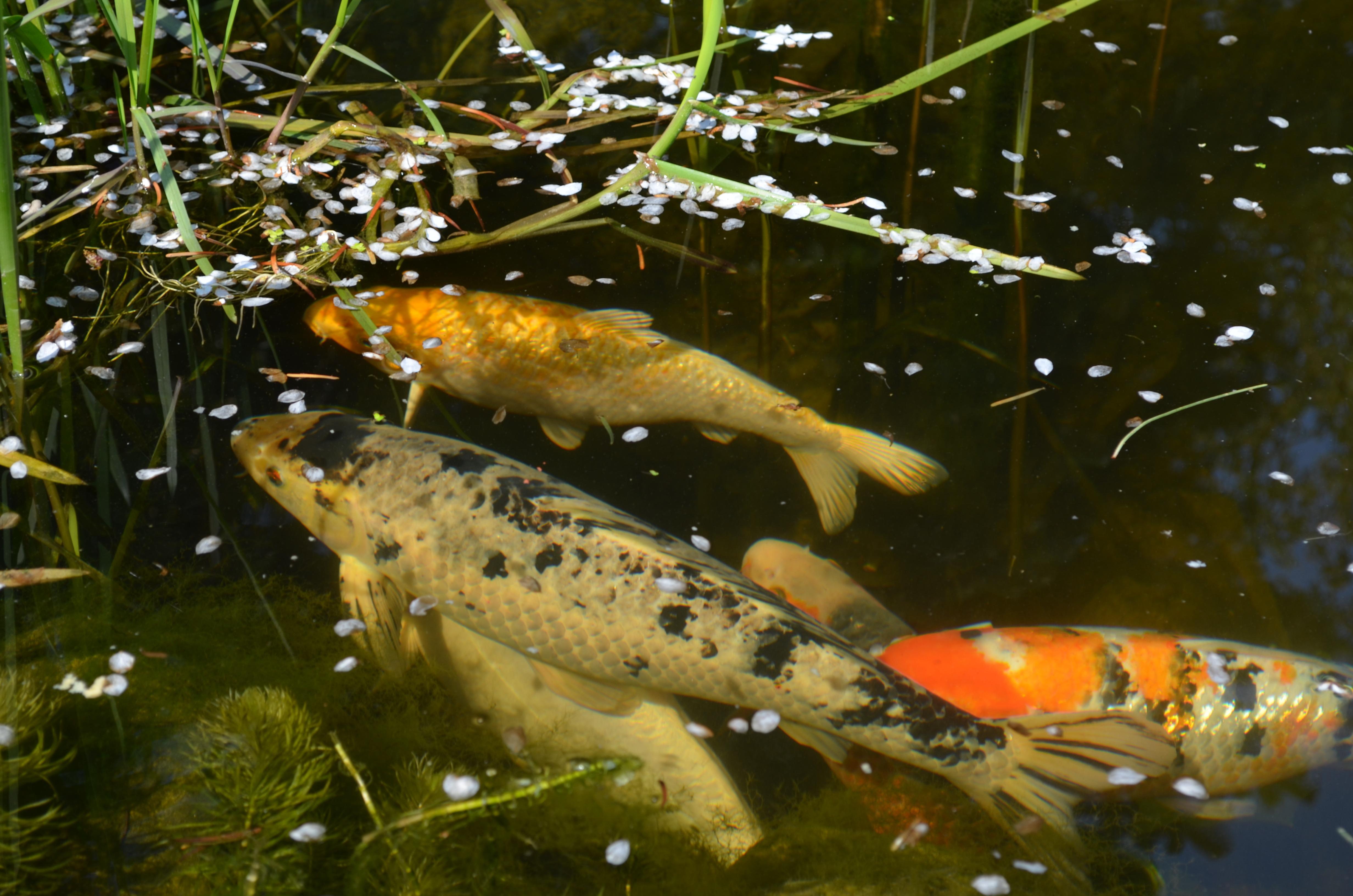 Gambar  Budidaya Ikan  Kolam Koi  Minimalis Gambar  Hias di