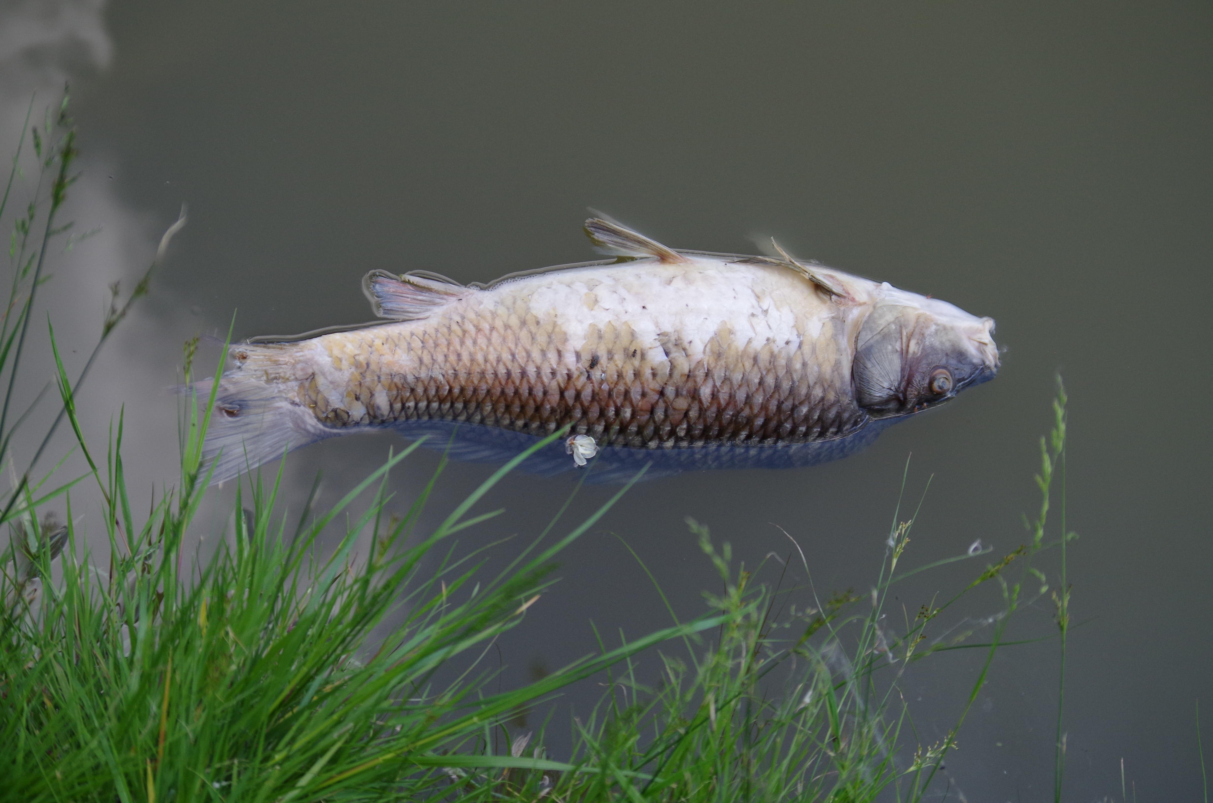 Free Images : pond, swim, fish, dead, fauna, carcass