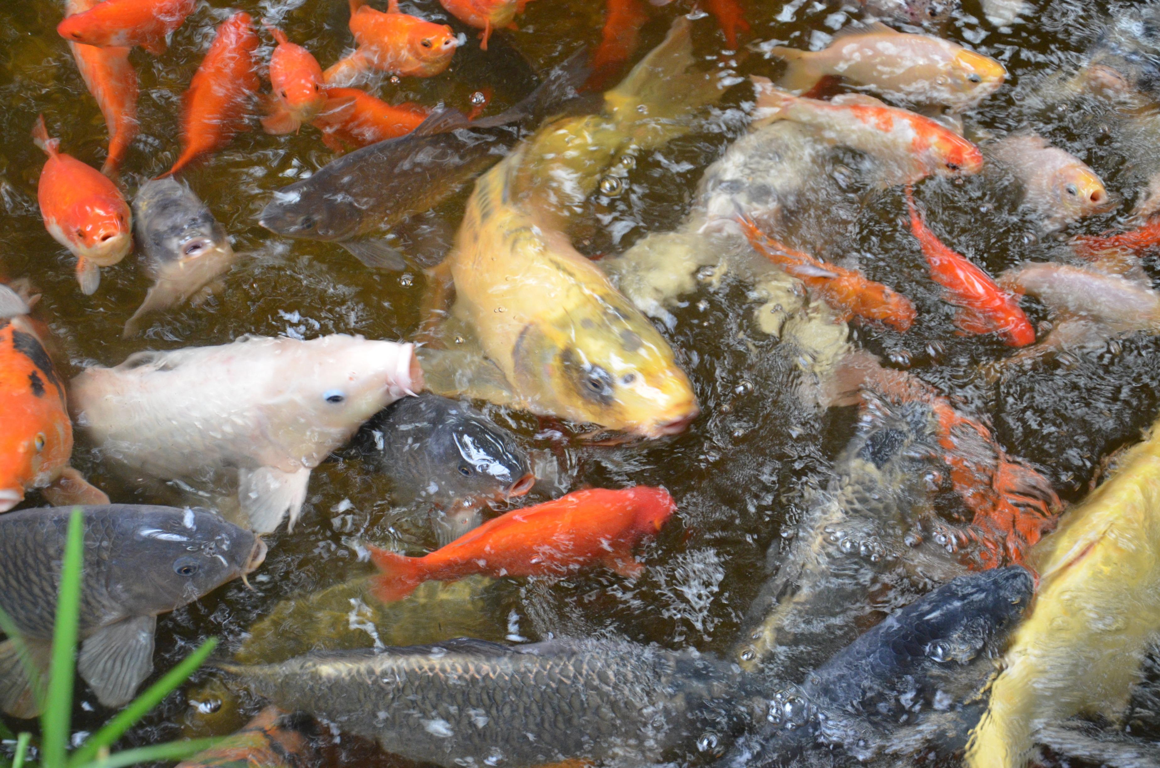 estanque nadar escala pescado fauna pez de colores koi carpa escamas aletas especies estanque de peces
