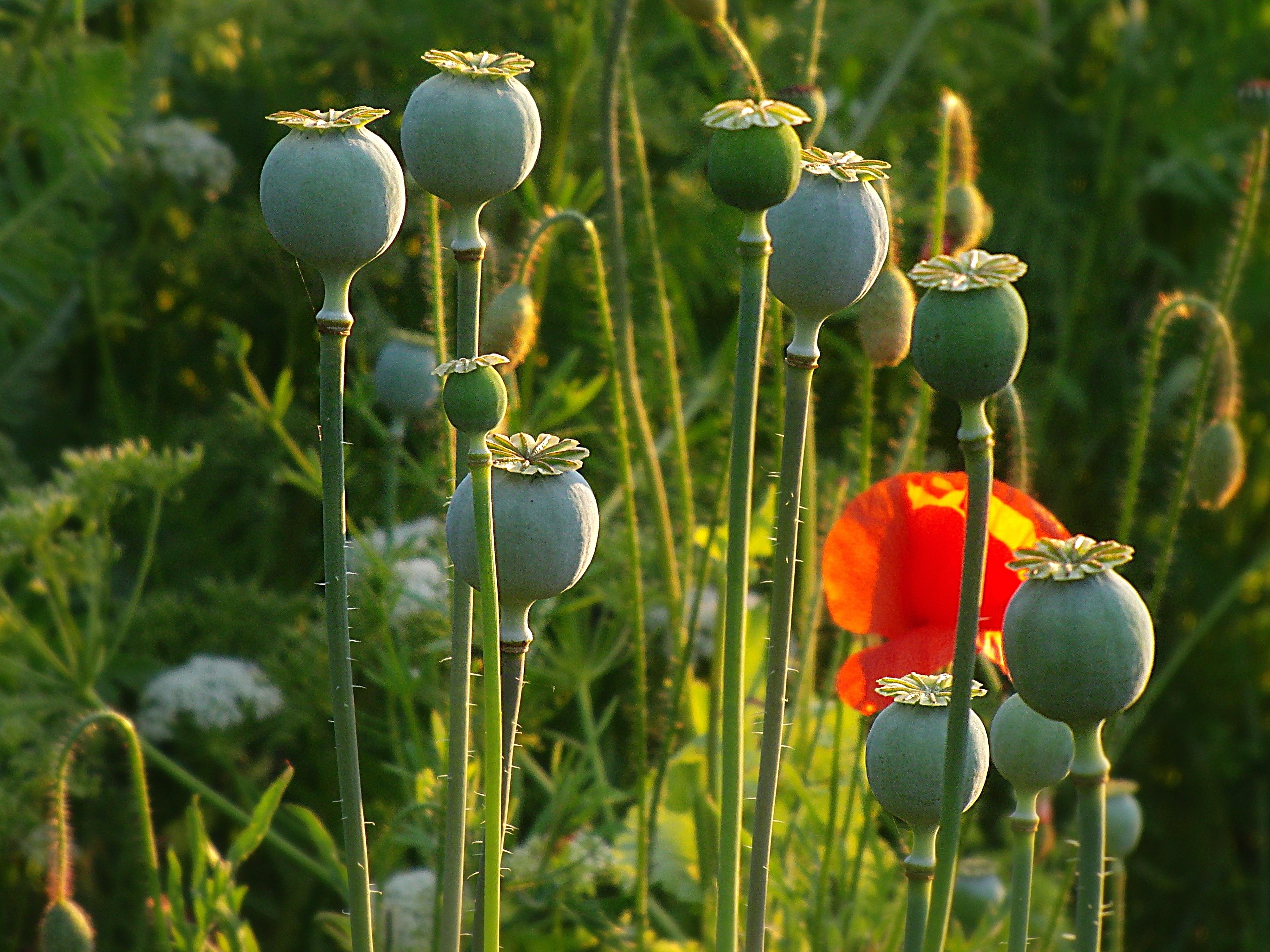 Free Images Klatschmohn Poppy Flower Red Field Of Poppies
