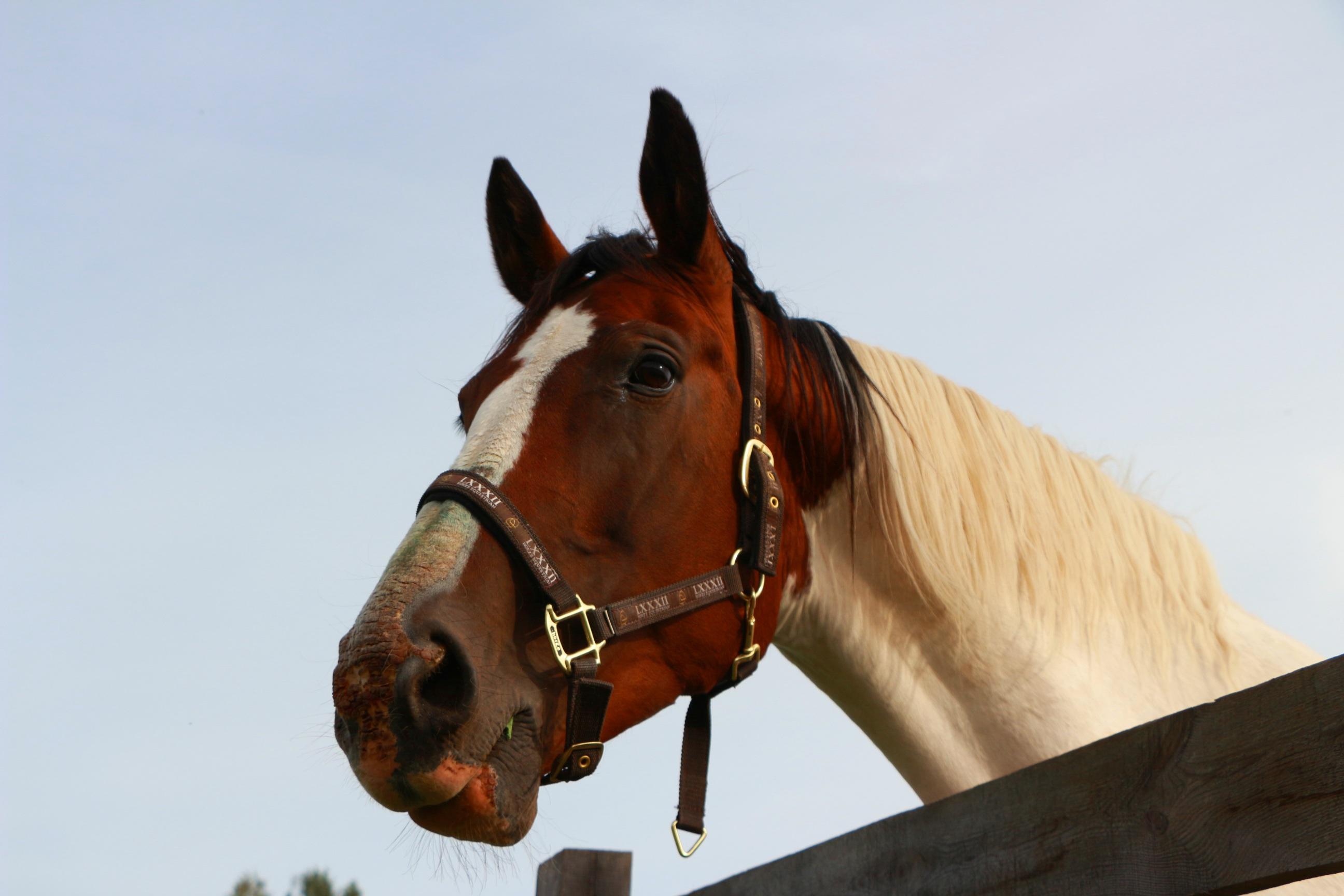 Ilmaisia Kuvia : muotokuva, ohjat, ori, harja, suitset, tamma, hevosen pään, riimu, ruskea ja ...