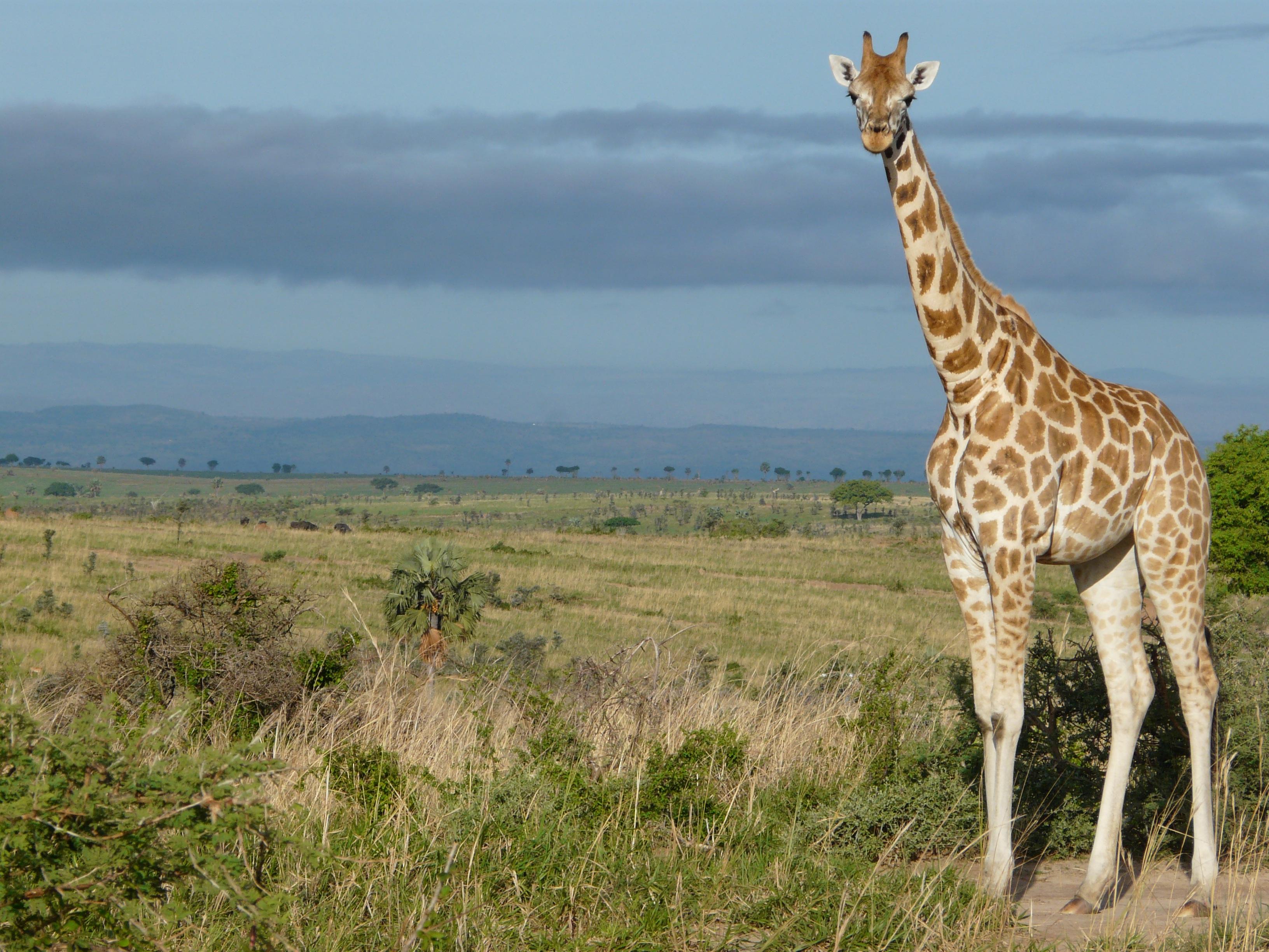 красивые ые жирафы саванн