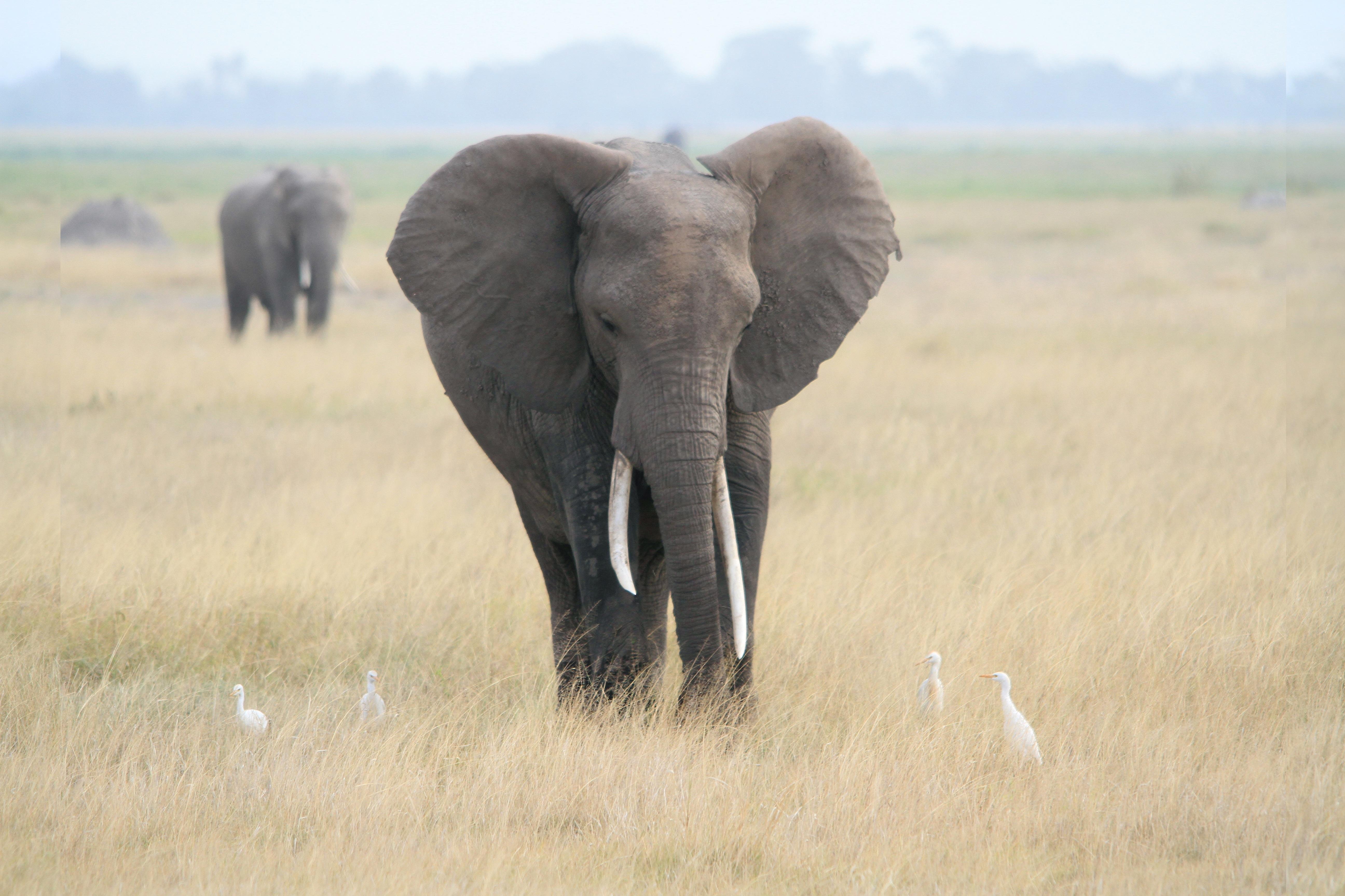 Free Images Prairie Adventure Herd Grazing Africa