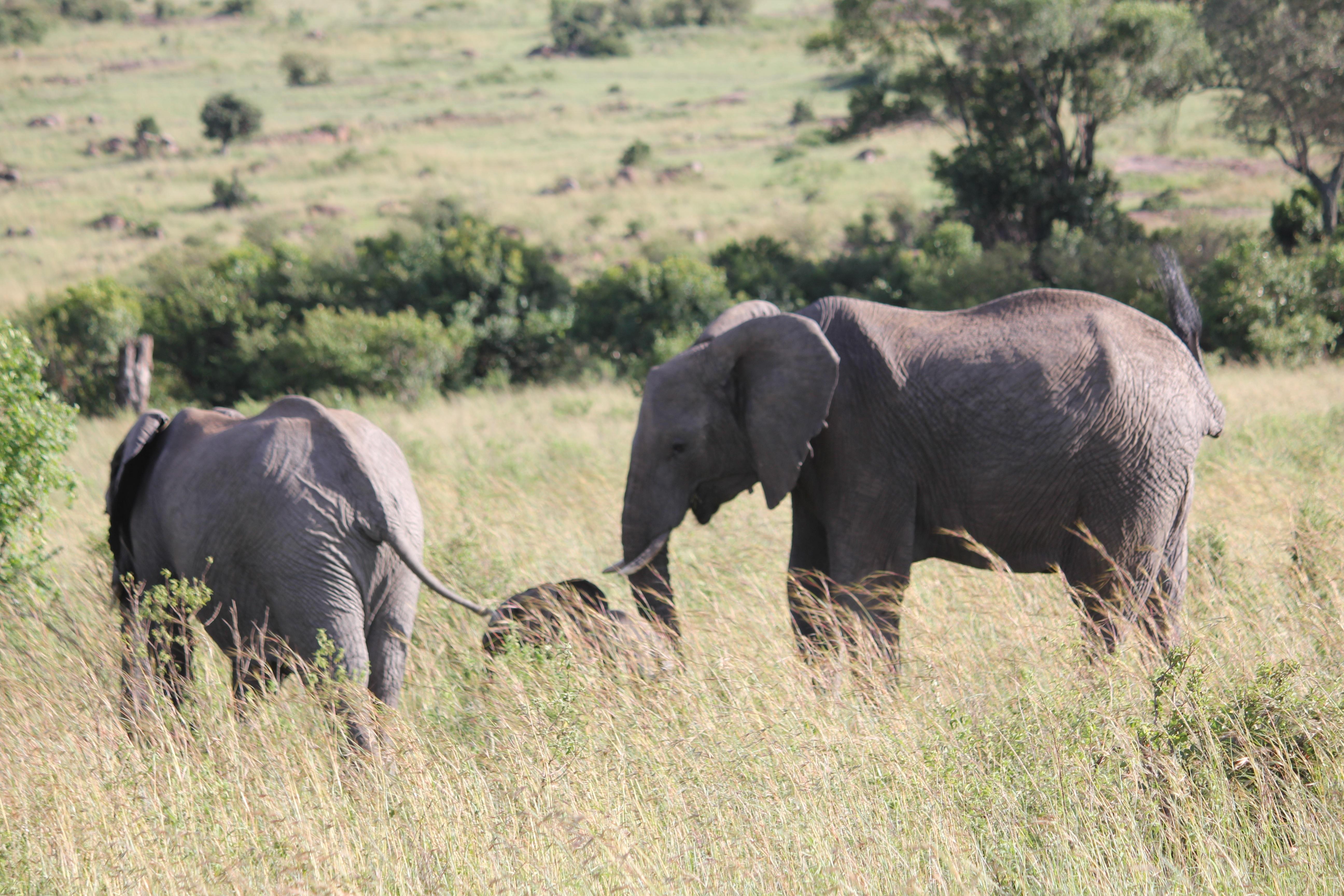 Images gratuites prairie aventure faune troupeau p turage afrique savane plaine - Photos d elephants gratuites ...