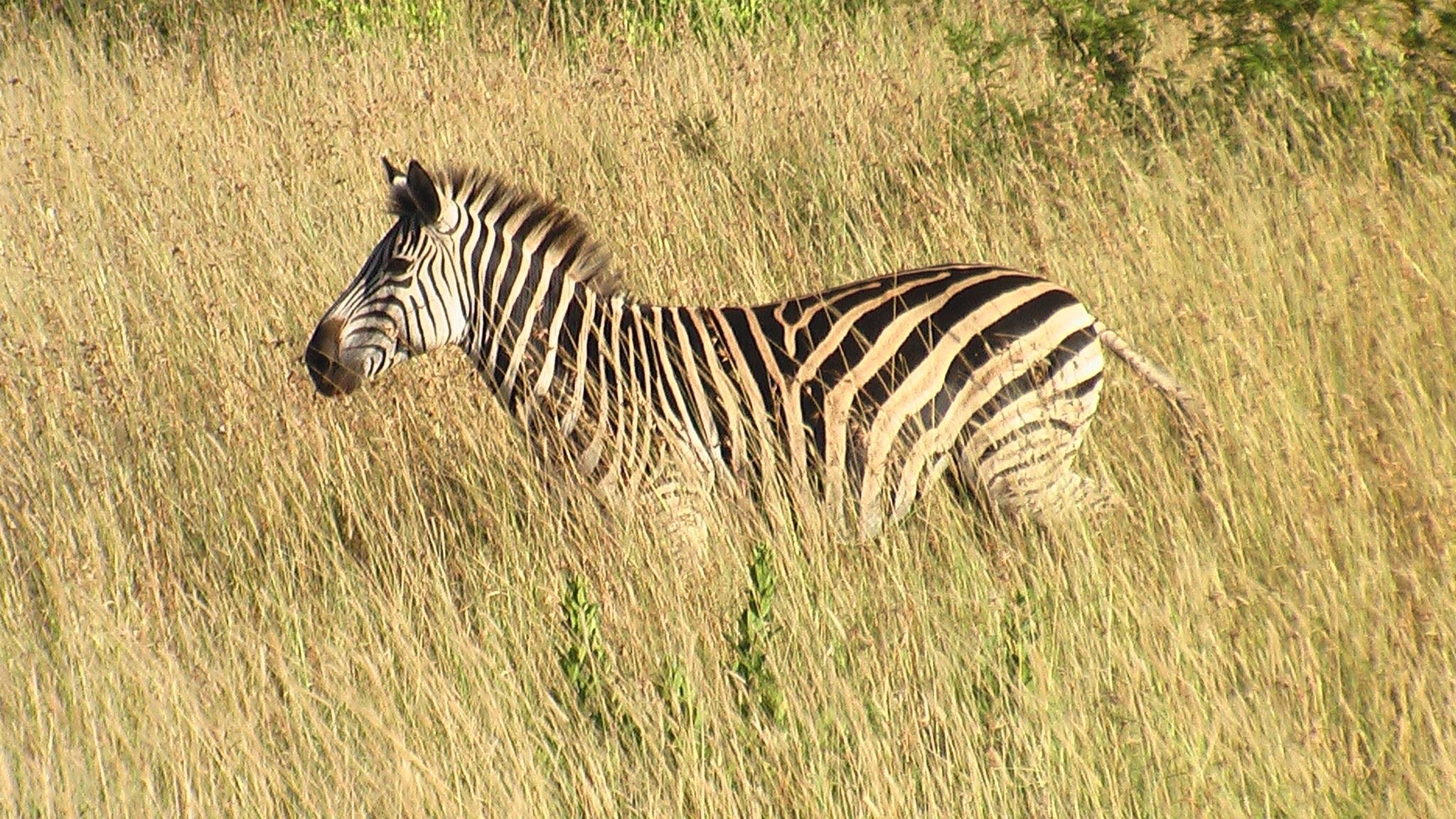 zebra wildlife south africa - HD2048×1152
